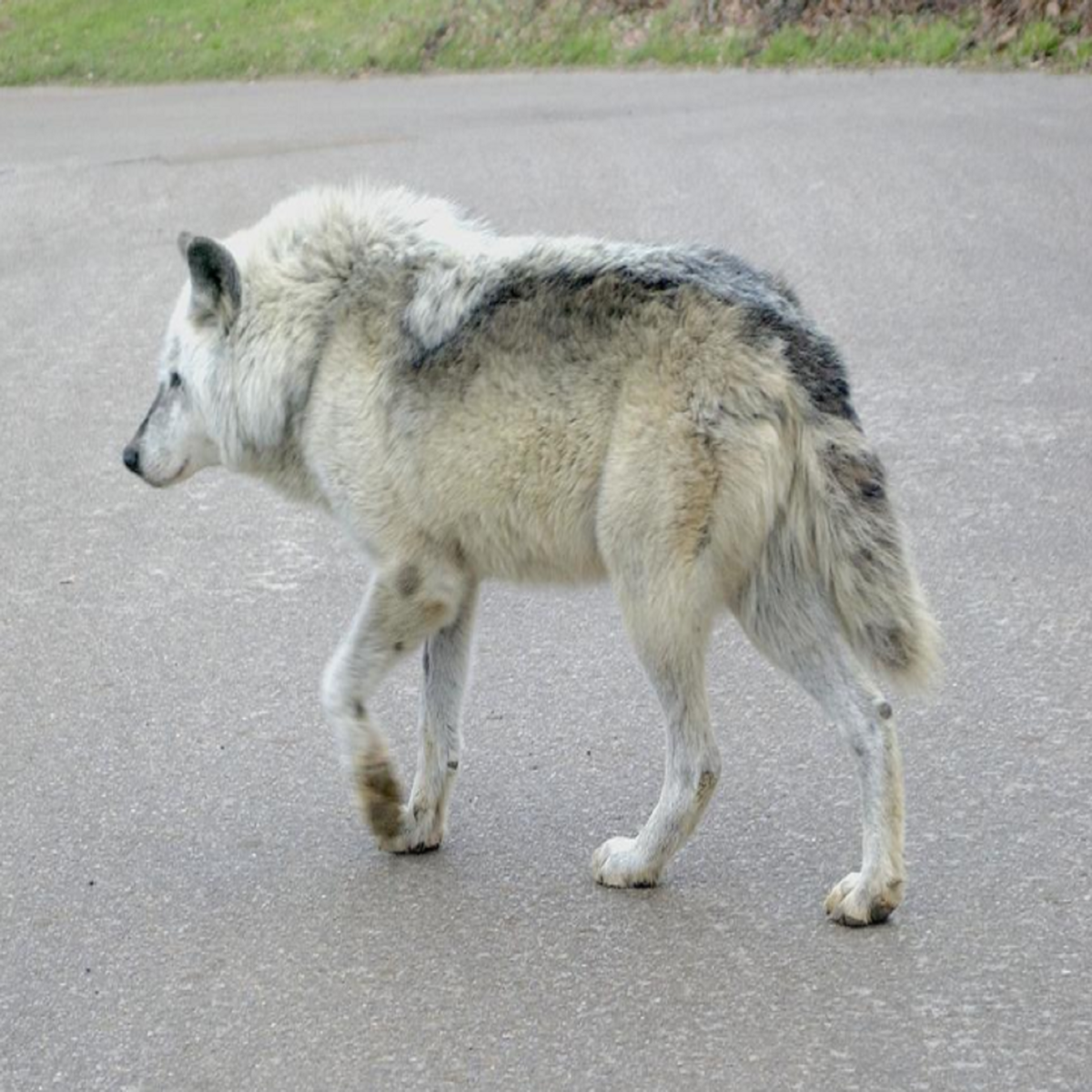 kostenloses der arabische wolf photos  freeimages
