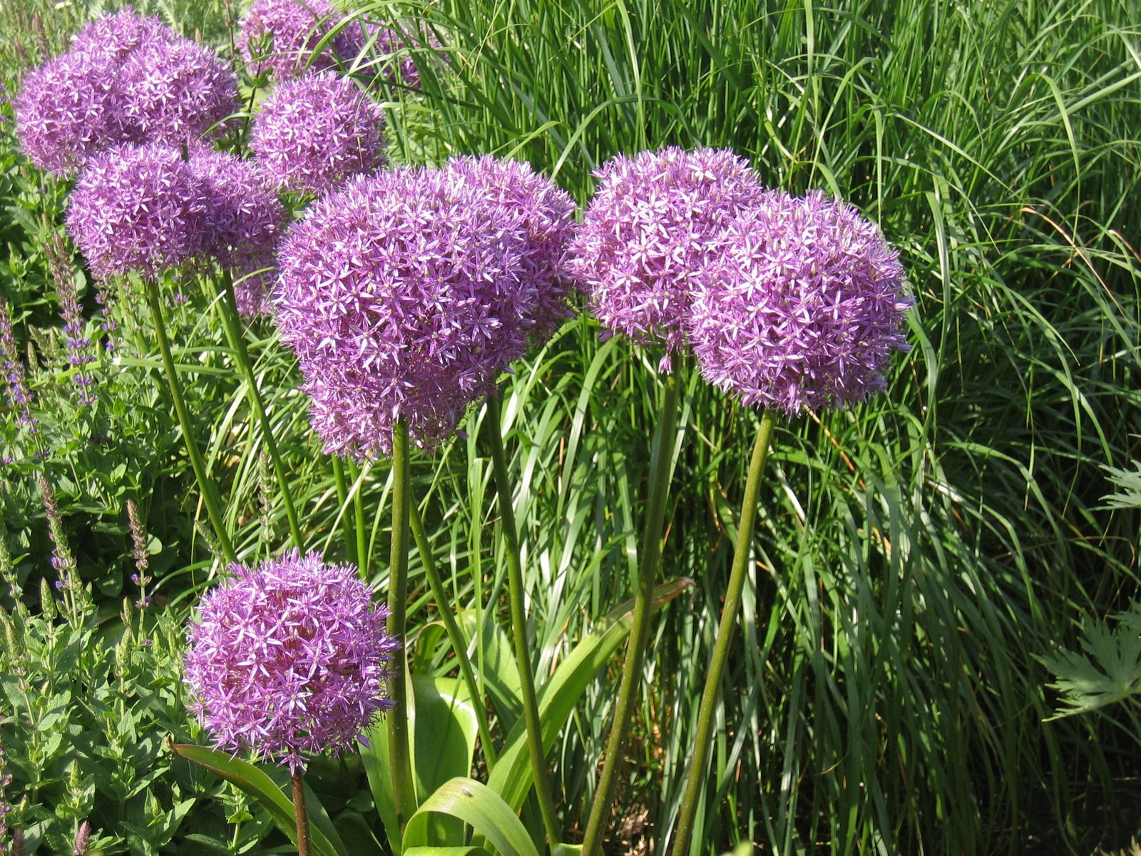 allium christophii plants