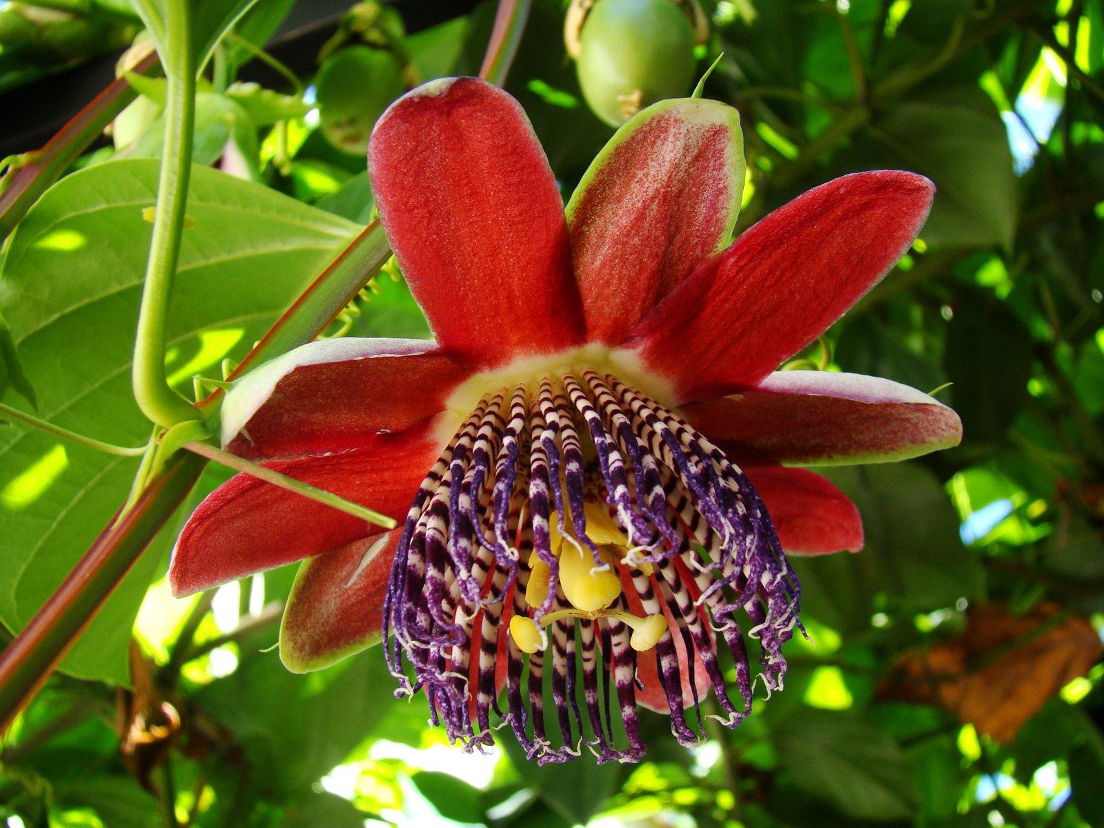 Free Passion Fruit Flower 2 Stock Photo