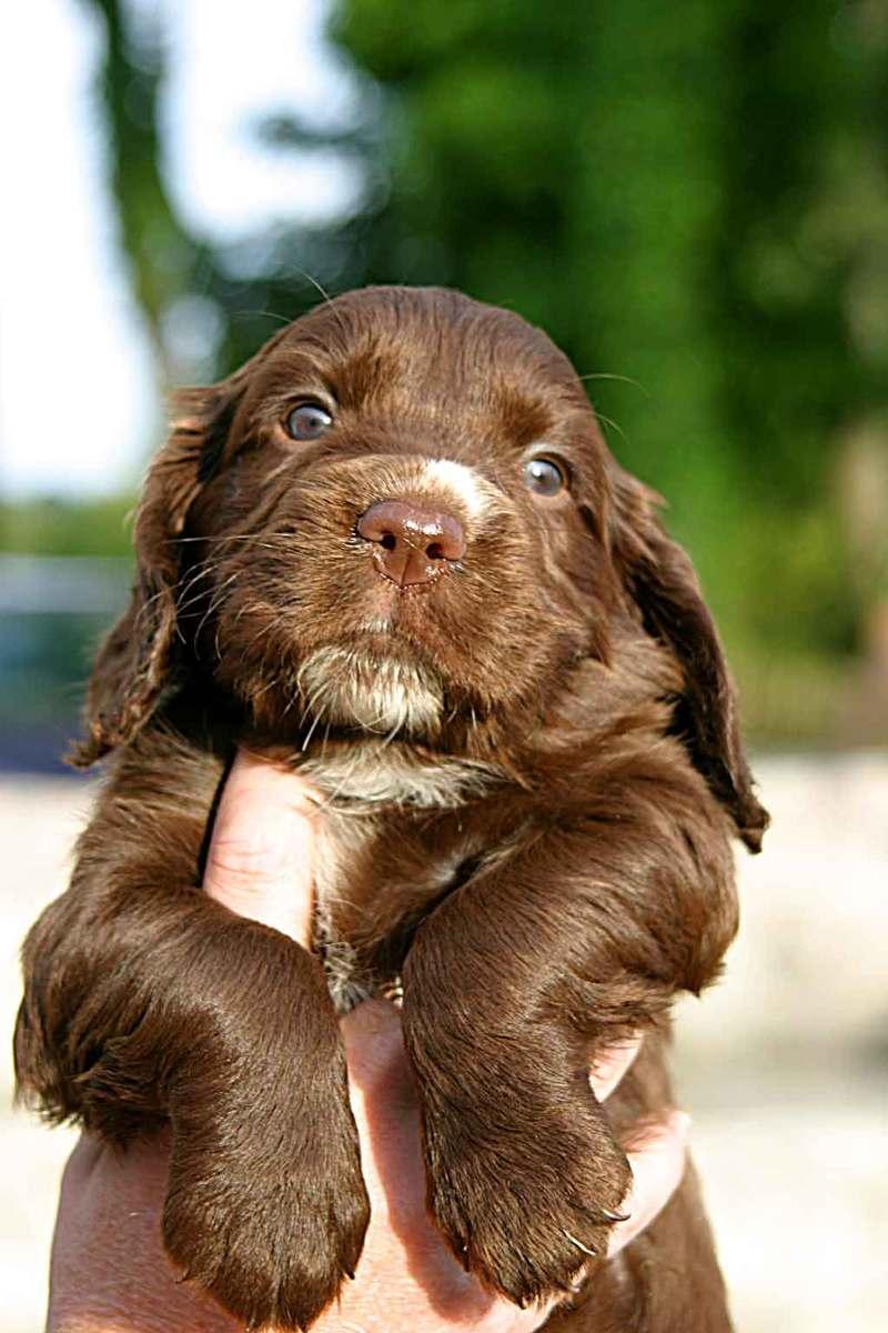 Free Sussex Spaniel Puppy 1 Stock Photo Freeimagescom
