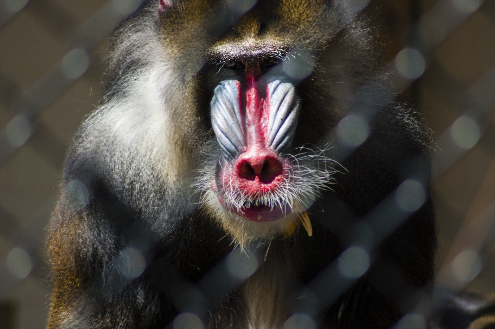 a study on the mandrill monkey from congo and nigeria