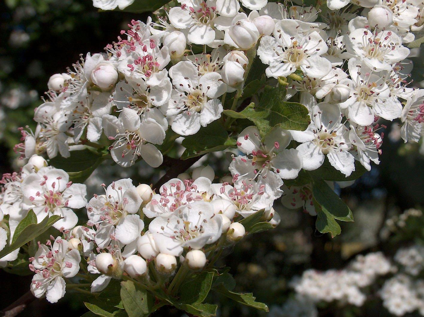 Free Hawthorn Blossom 1 Stock Photo