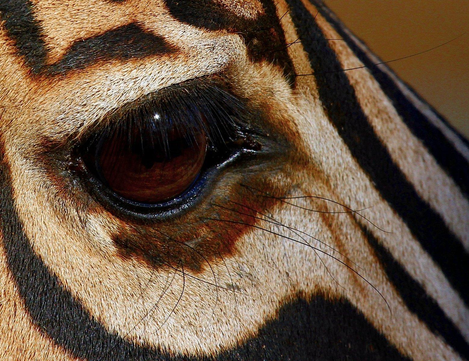 Free Zebra Eye 1 Stock Photo Freeimages Com