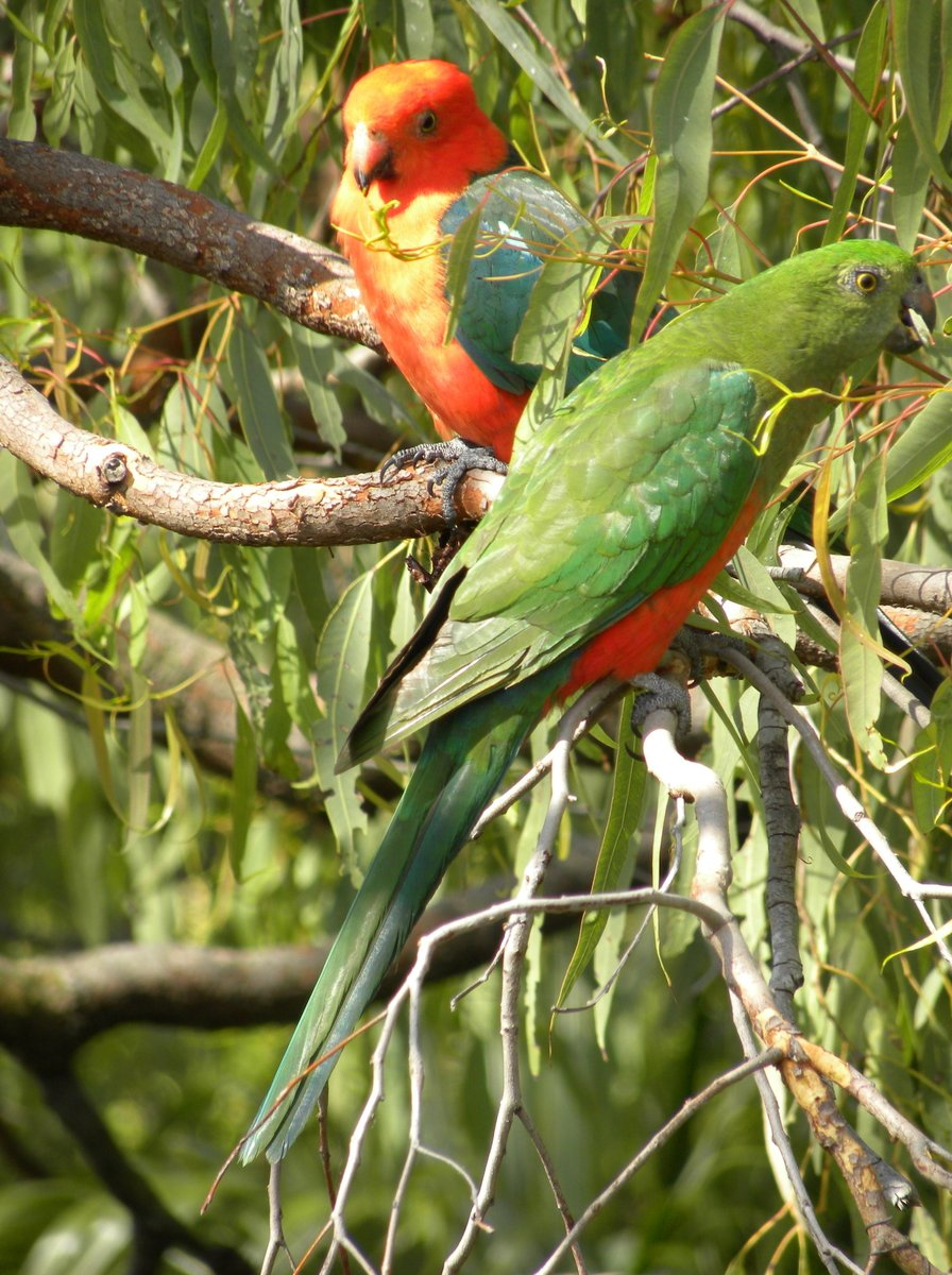 Free Australian King Parrots (Male and Female) Stock Photo