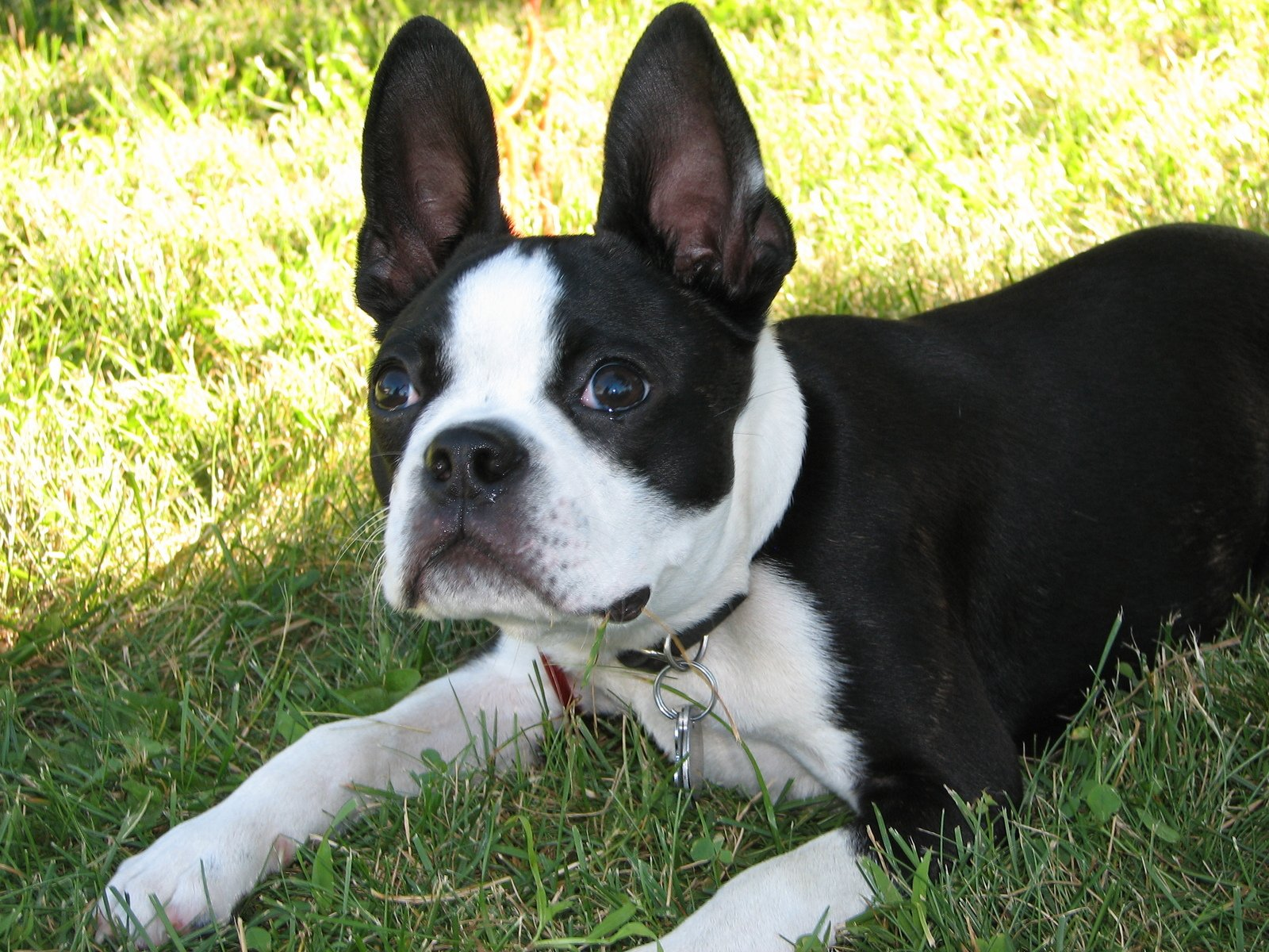 free boston terrier puppies free boston terrier pup stock photo freeimages com 3866