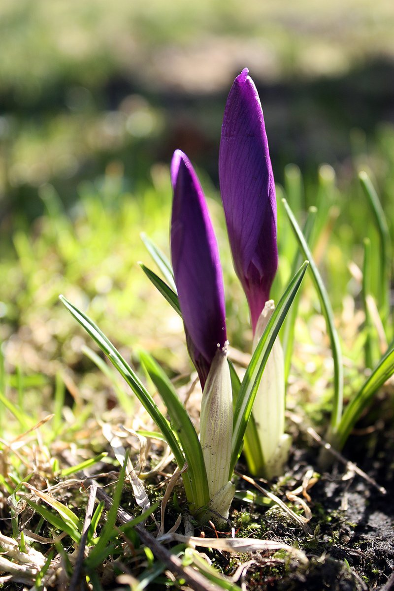 Free First Spring Flowers 1 Stock Photo Freeimages