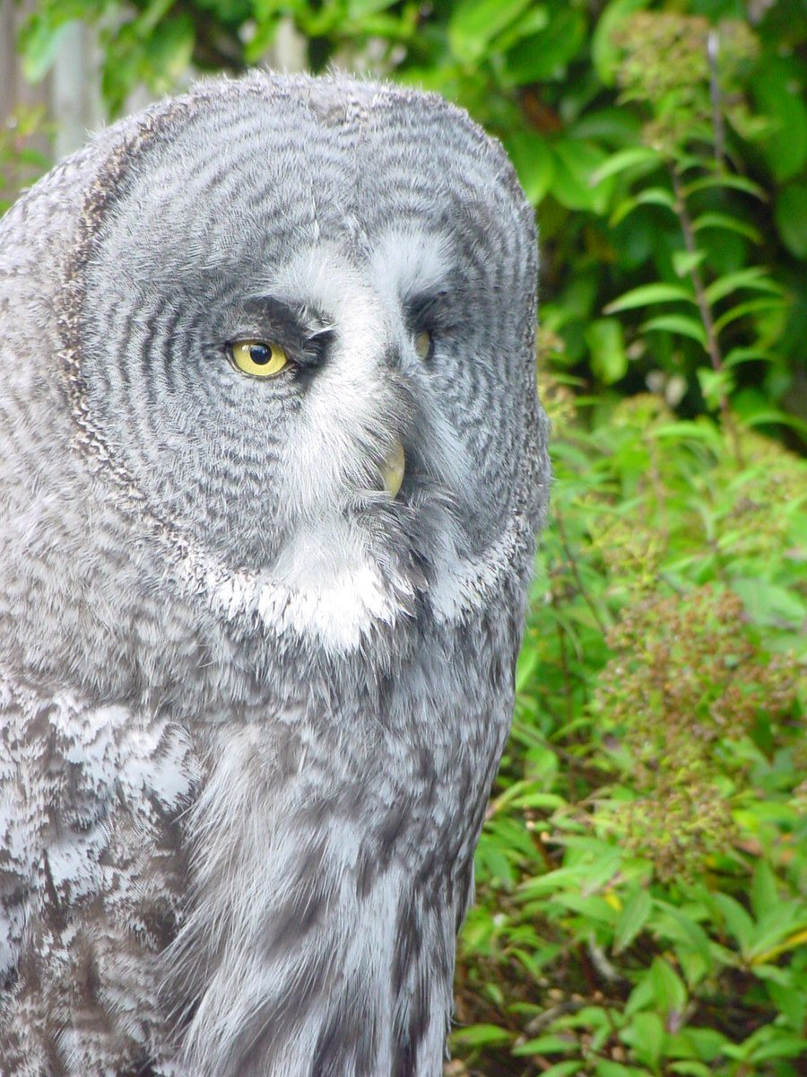 Free Great Grey Owl Stock Photo - FreeImages.com