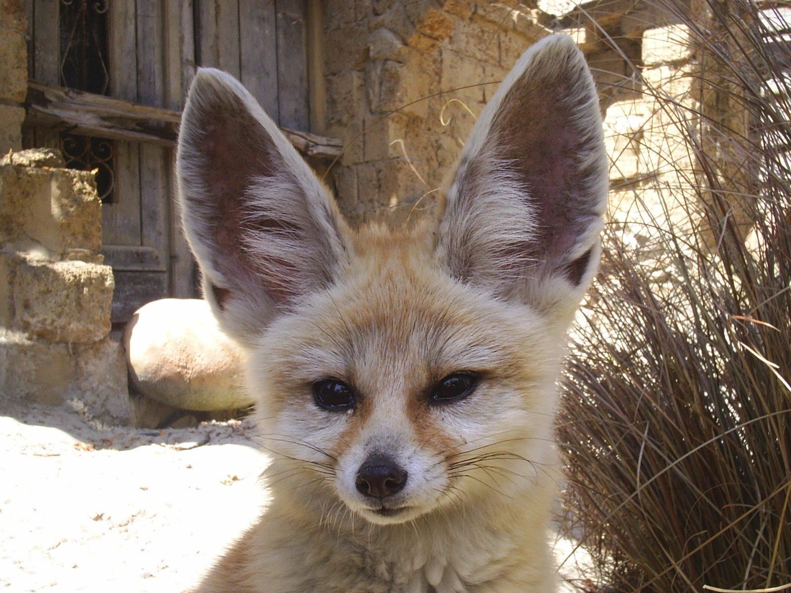 Fox, Fennek Fox