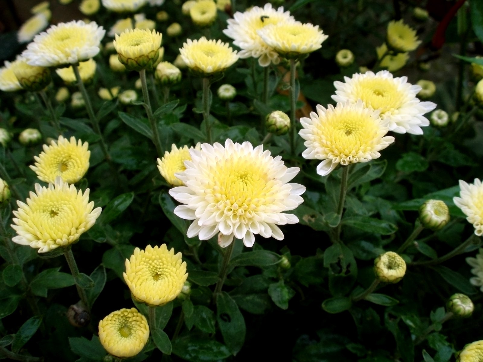 character analysis of elisa allen in the chrysanthemums Essays from bookrags provide great ideas for the chrysanthemums essays and paper topics like essay view this student essay about the chrysanthemums.