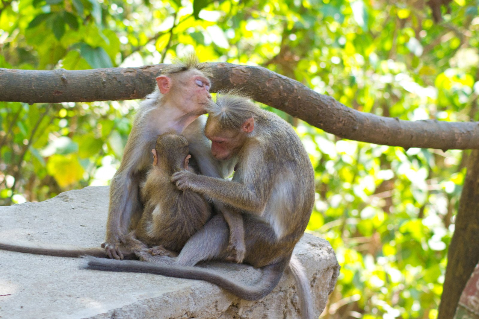 Free Monkey Family Love Stock Photo - Freeimagescom-2535