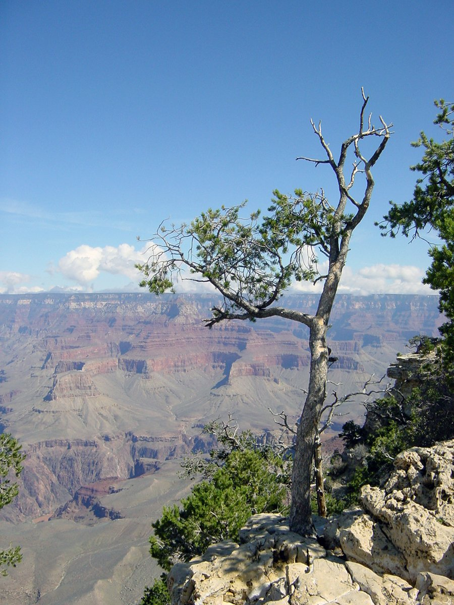 Free Tree Grand Canyon Stock Photo - FreeImages.com