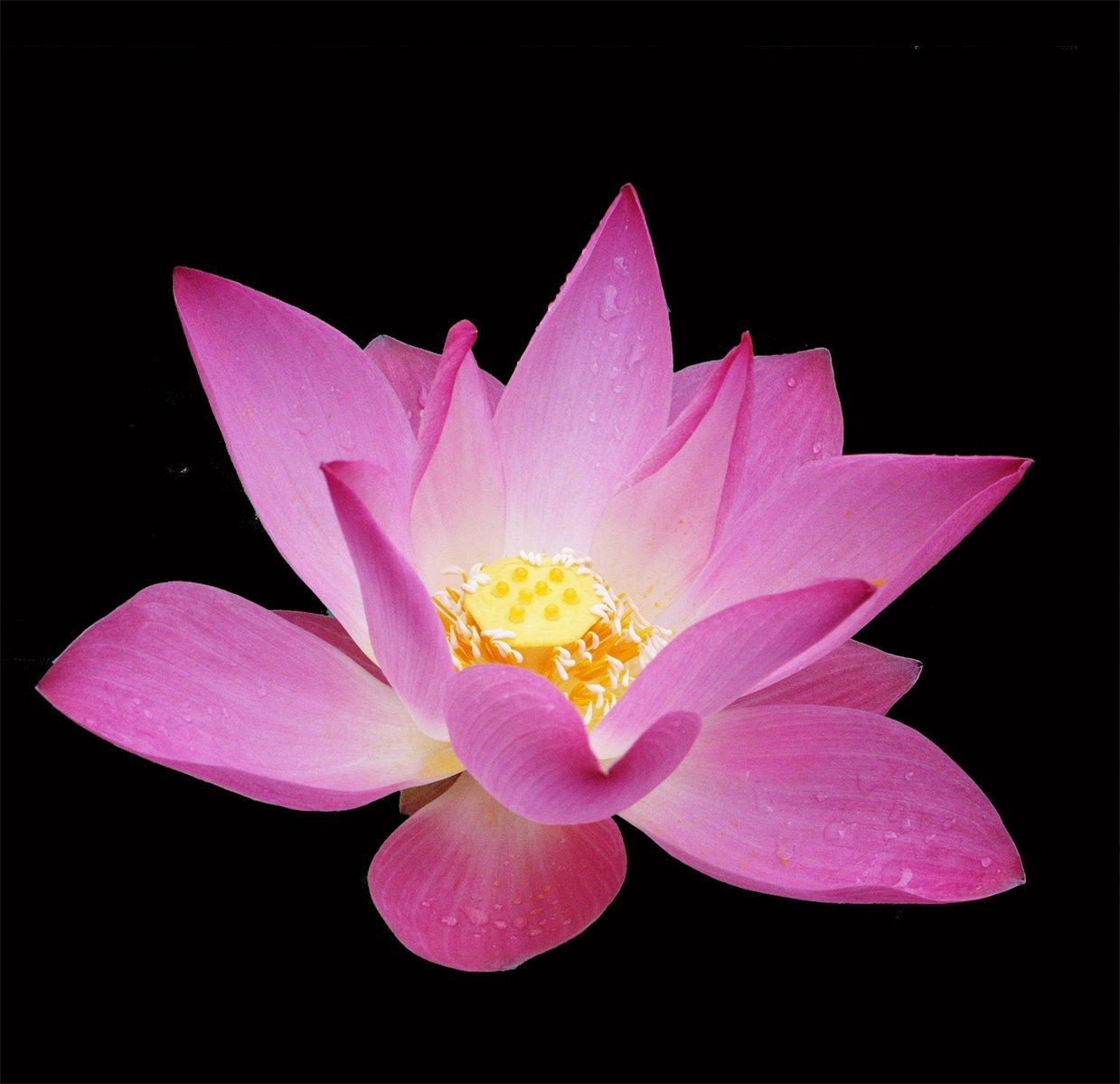 Free Ppt Backgrounds Desktop Wallpaper Flower Pink Lotus: Free Pink Lotus Stock Photo