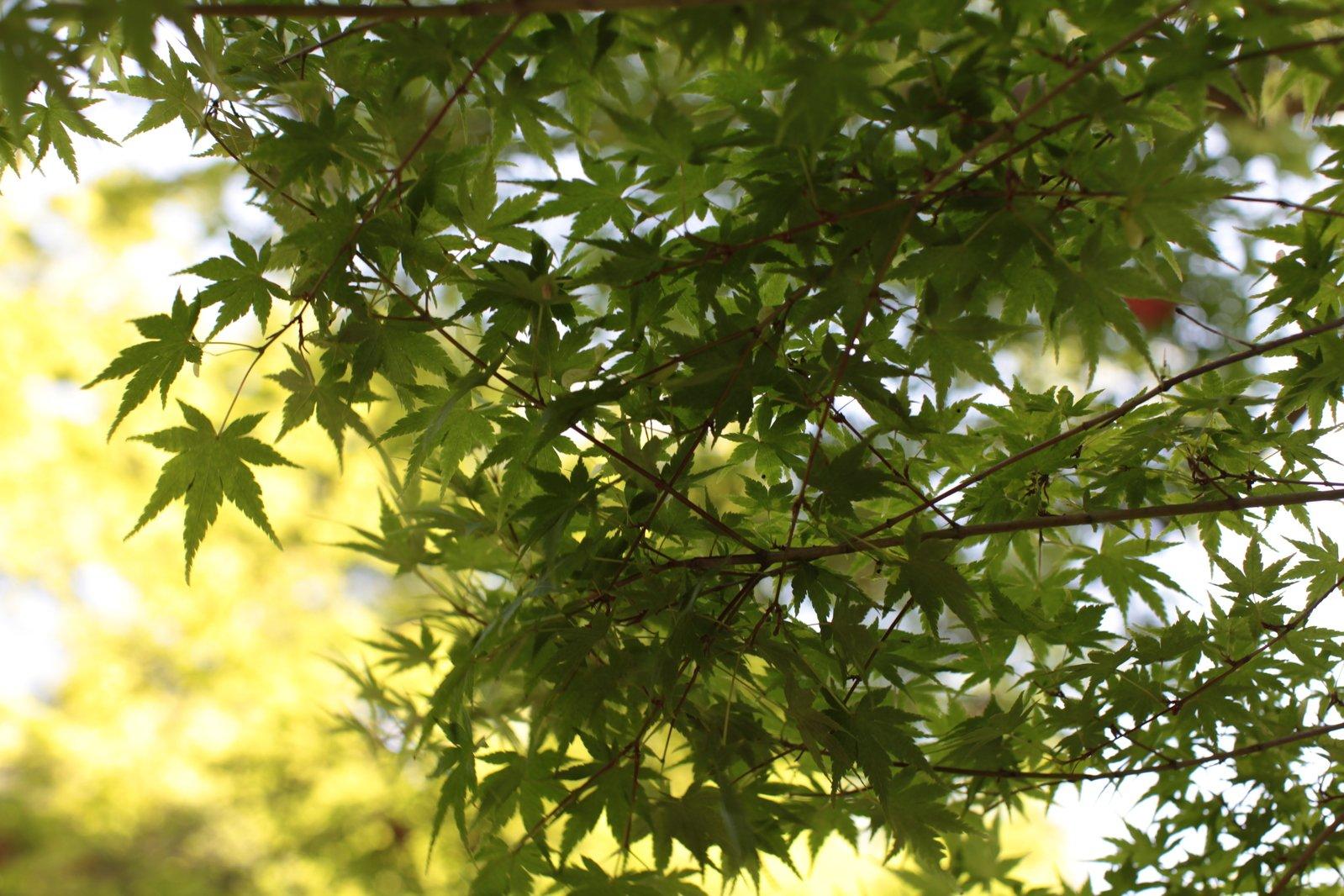 Acero Giapponese Verde free foglia di acero giapponese verde in estate stock photo