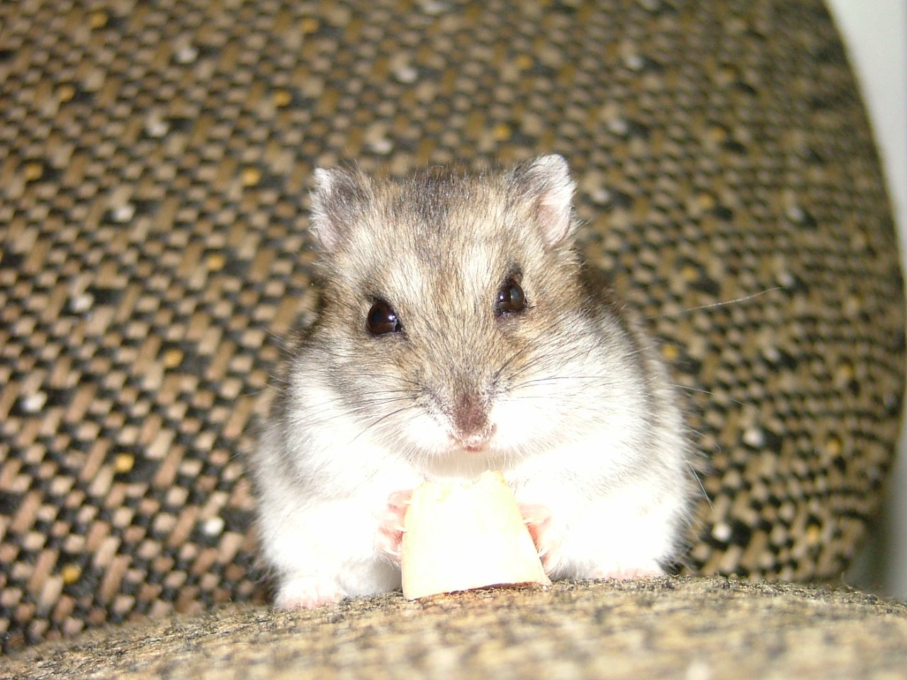 Hamster free