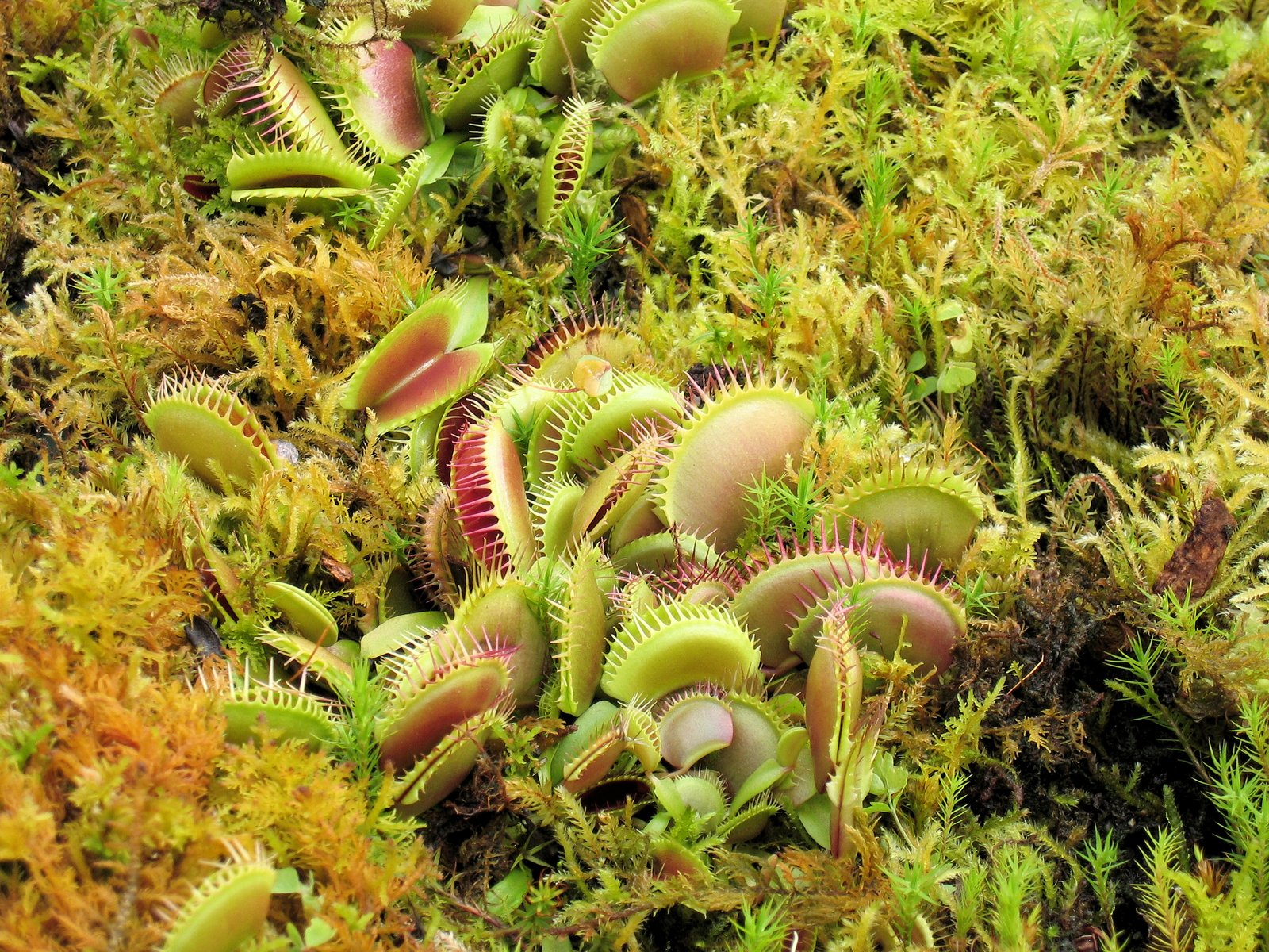 Free venus flytrap Stock Photo
