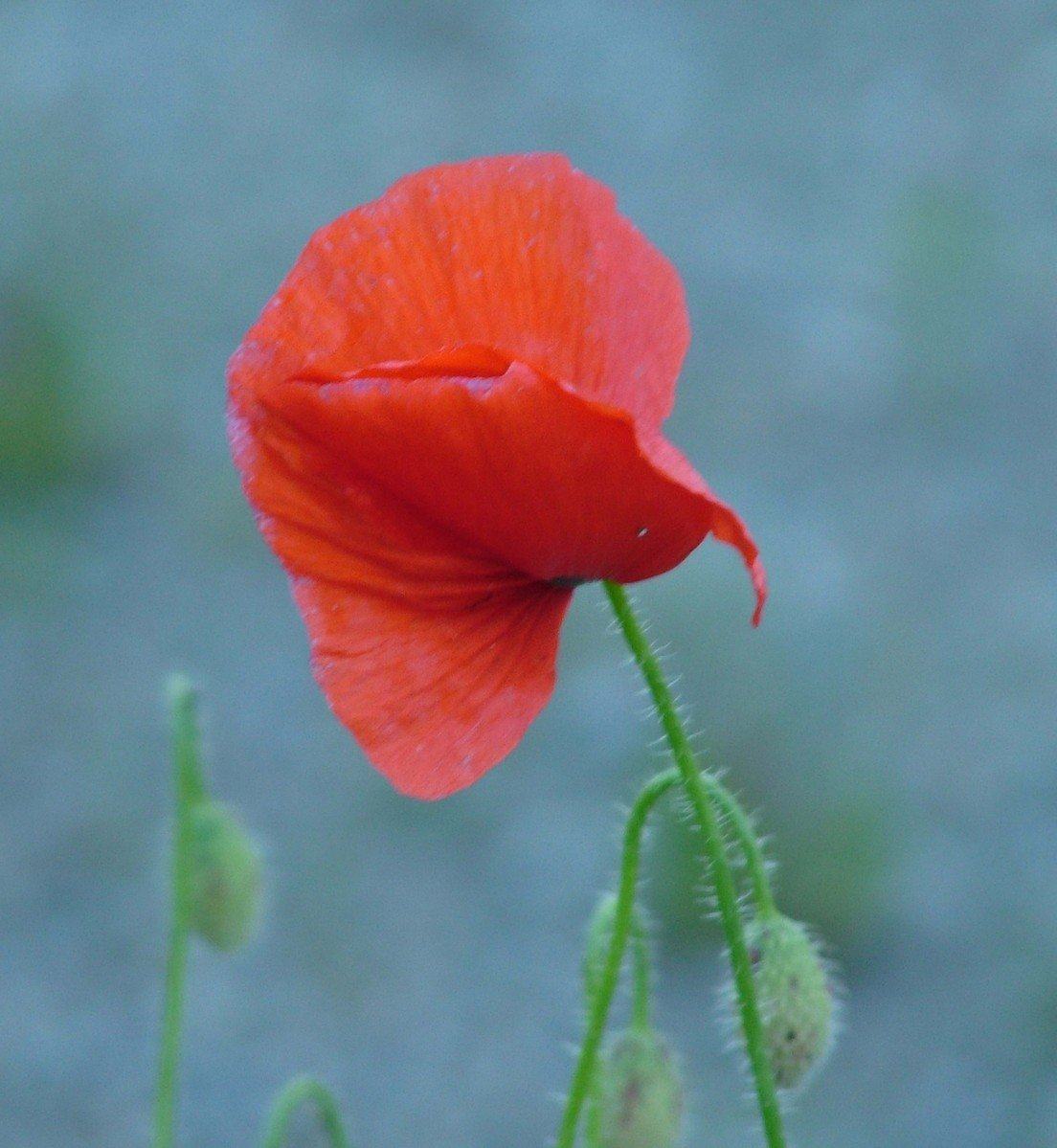 Free Poppy Flower Ii Stock Photo Freeimages
