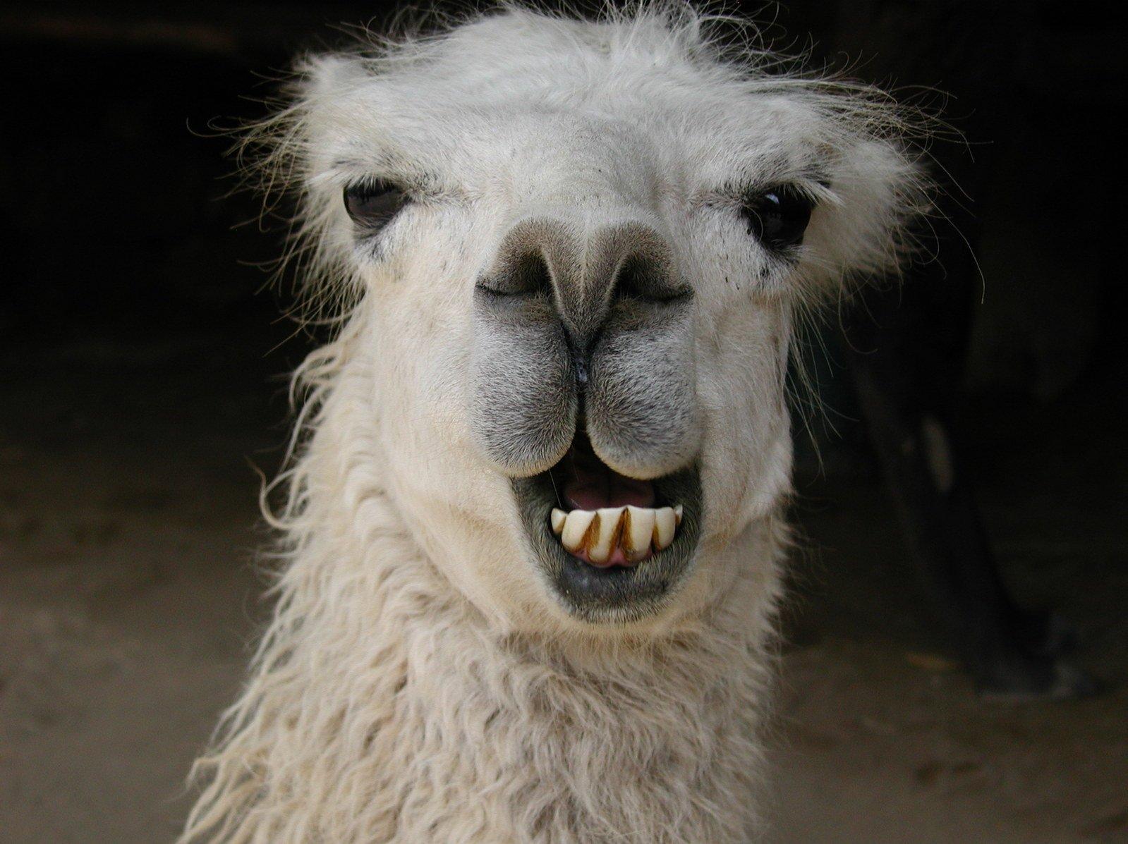 smějící se lama