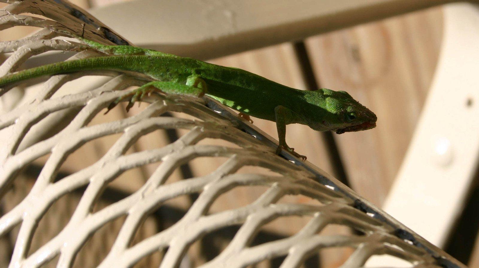 free little green lizard 1 stock photo. Black Bedroom Furniture Sets. Home Design Ideas