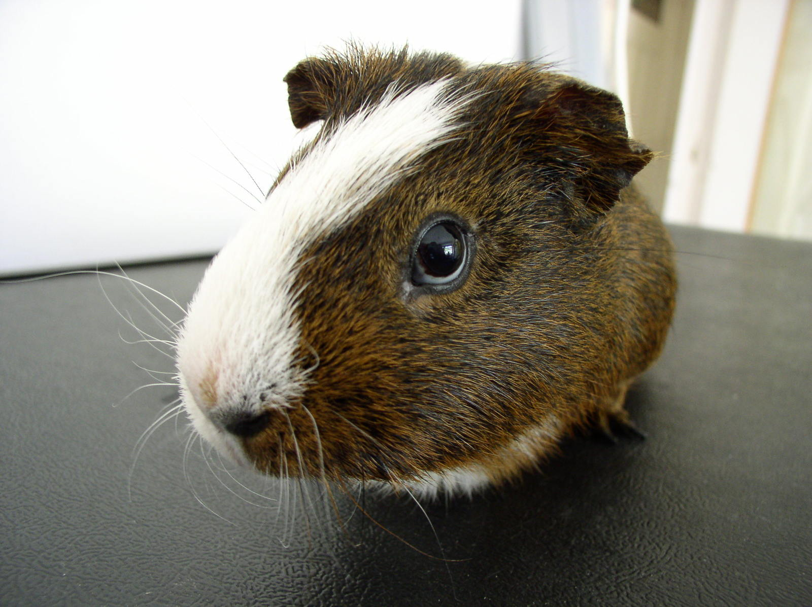 Free guinea pig stock photo for Guinea pig pictures free