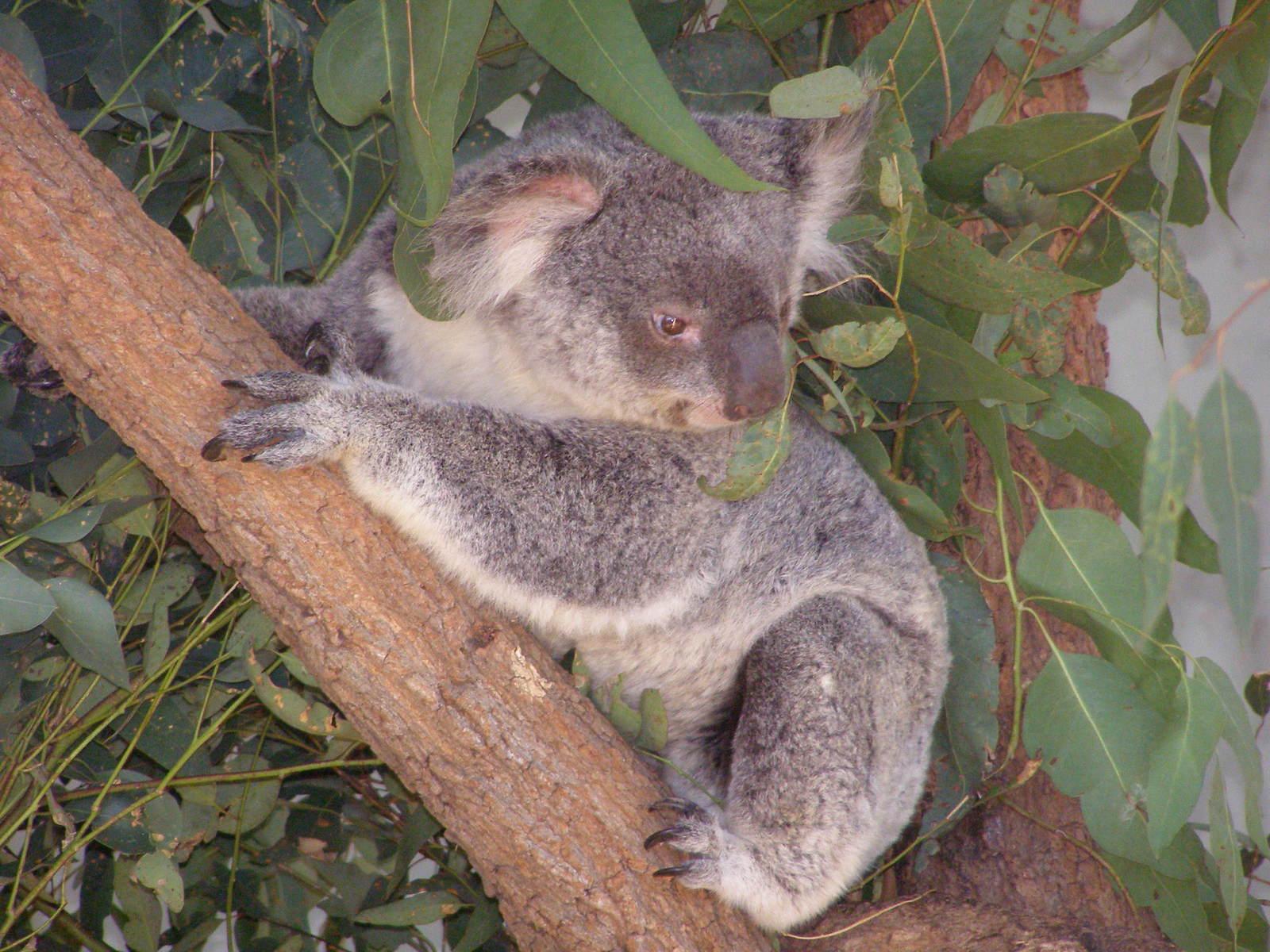 free 树袋熊,塔隆加动物园, 悉尼澳大利亚 stock photo