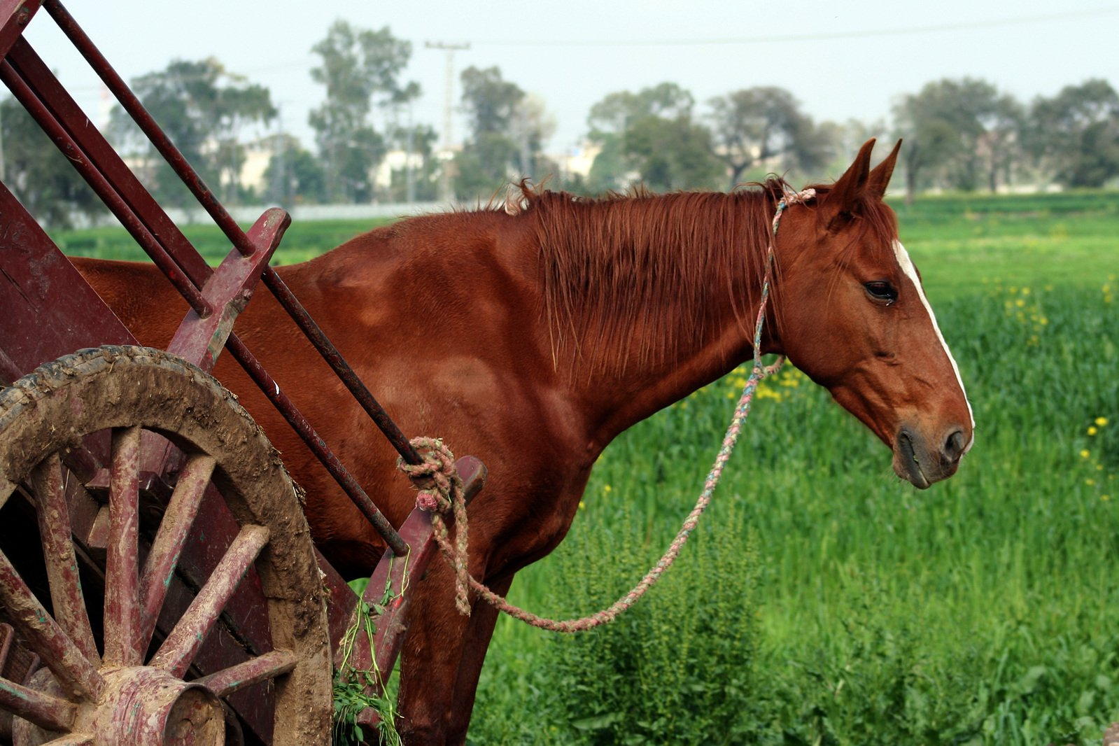 Free Village Horse Stock Photo - Freeimagescom-5466