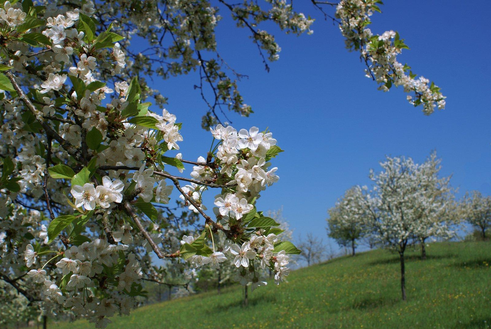 free cherry blossom stock photo freeimagescom