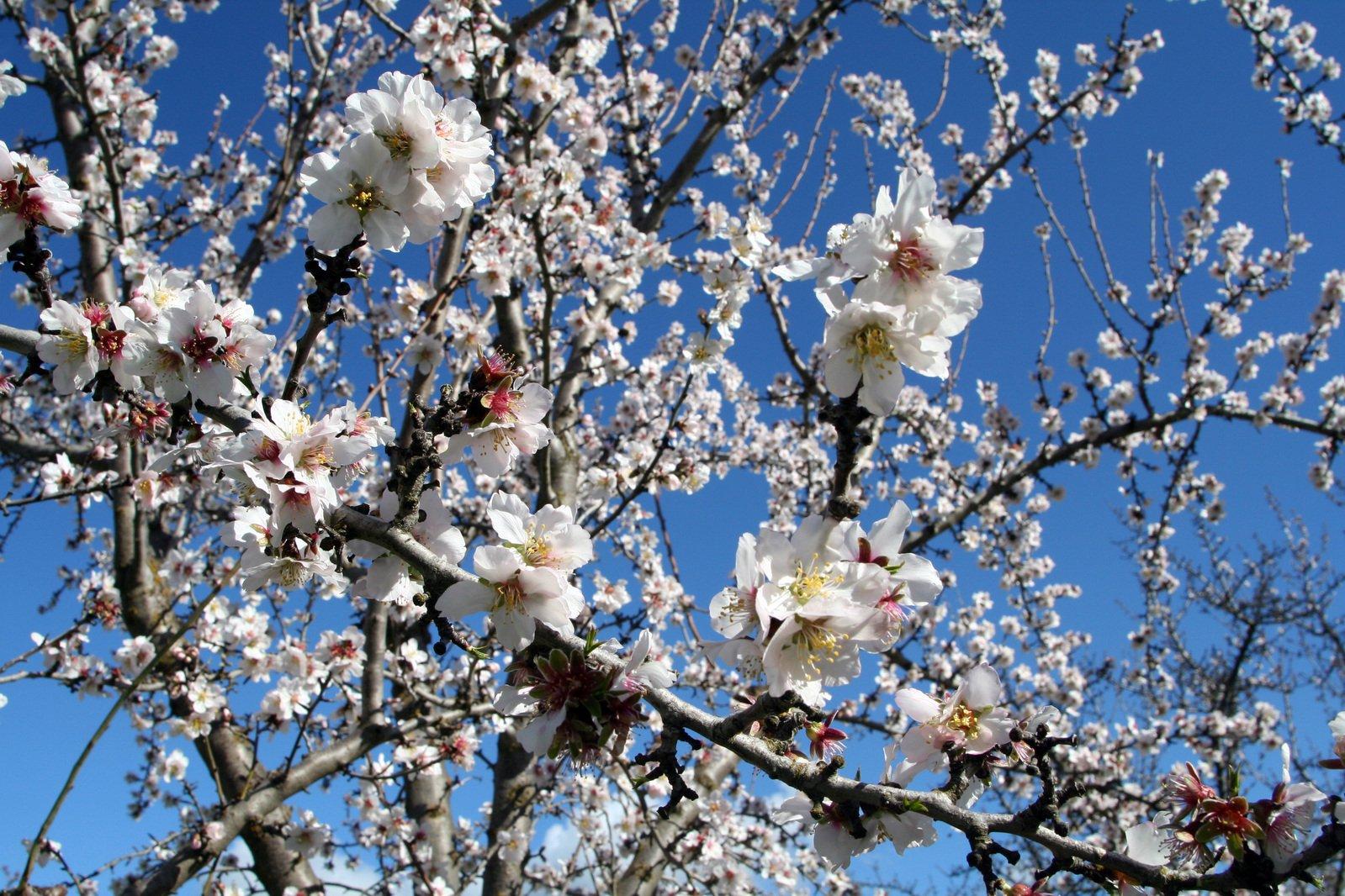 Free Almond Blossoms 4 Stock Photo Freeimages Com