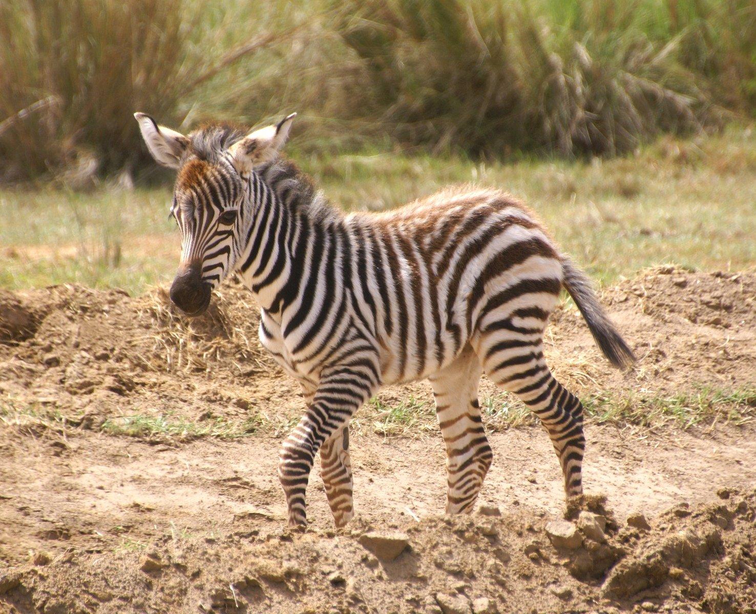 Free young zebra Stock Photo - FreeImages.com