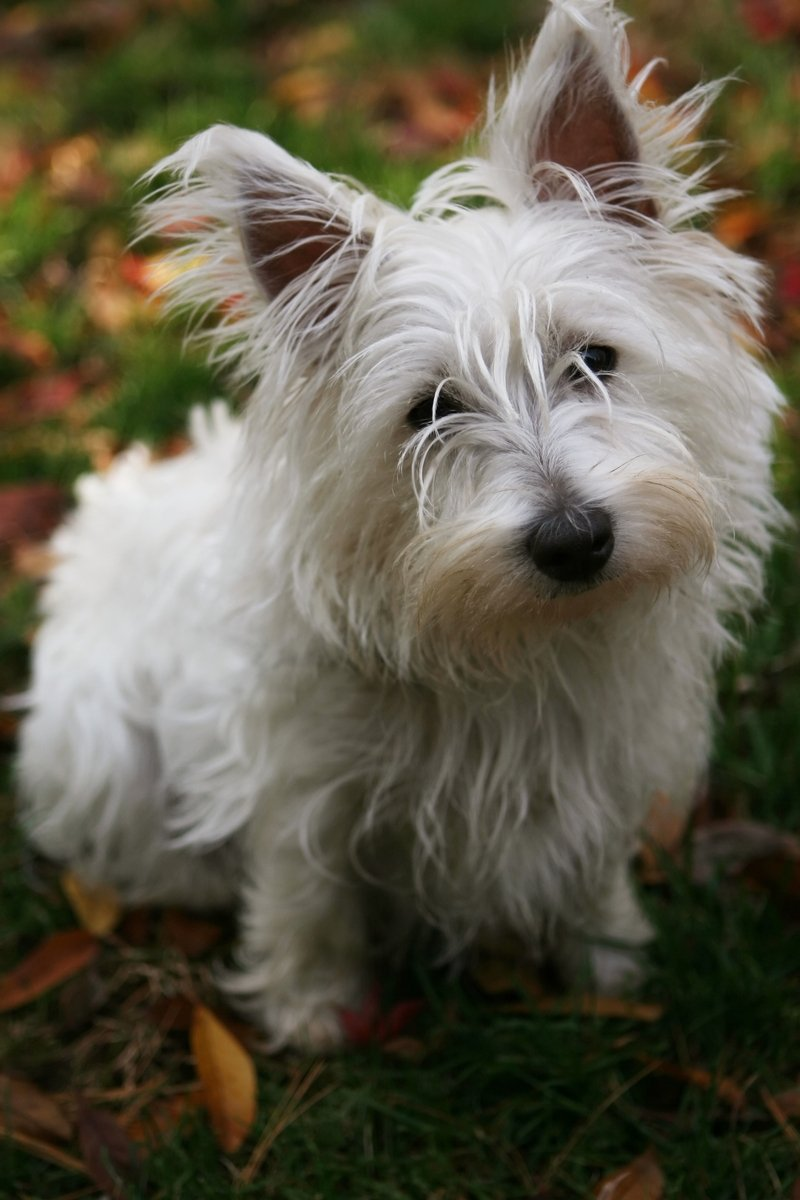Free Little White Fluffy Dog 2 Stock Photo Freeimages Com