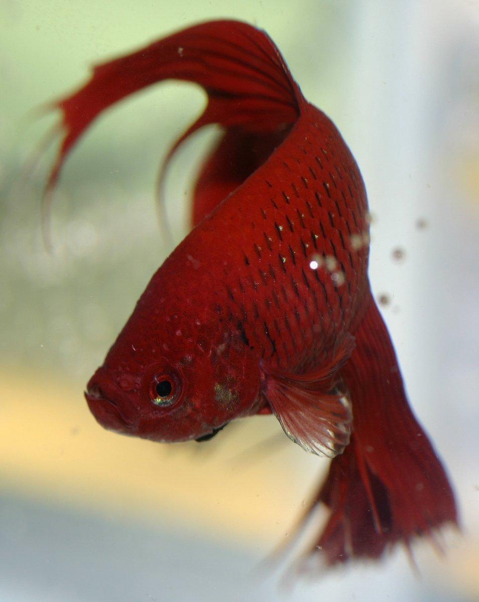 Free betta fish series 4 stock photo for Betta fish game