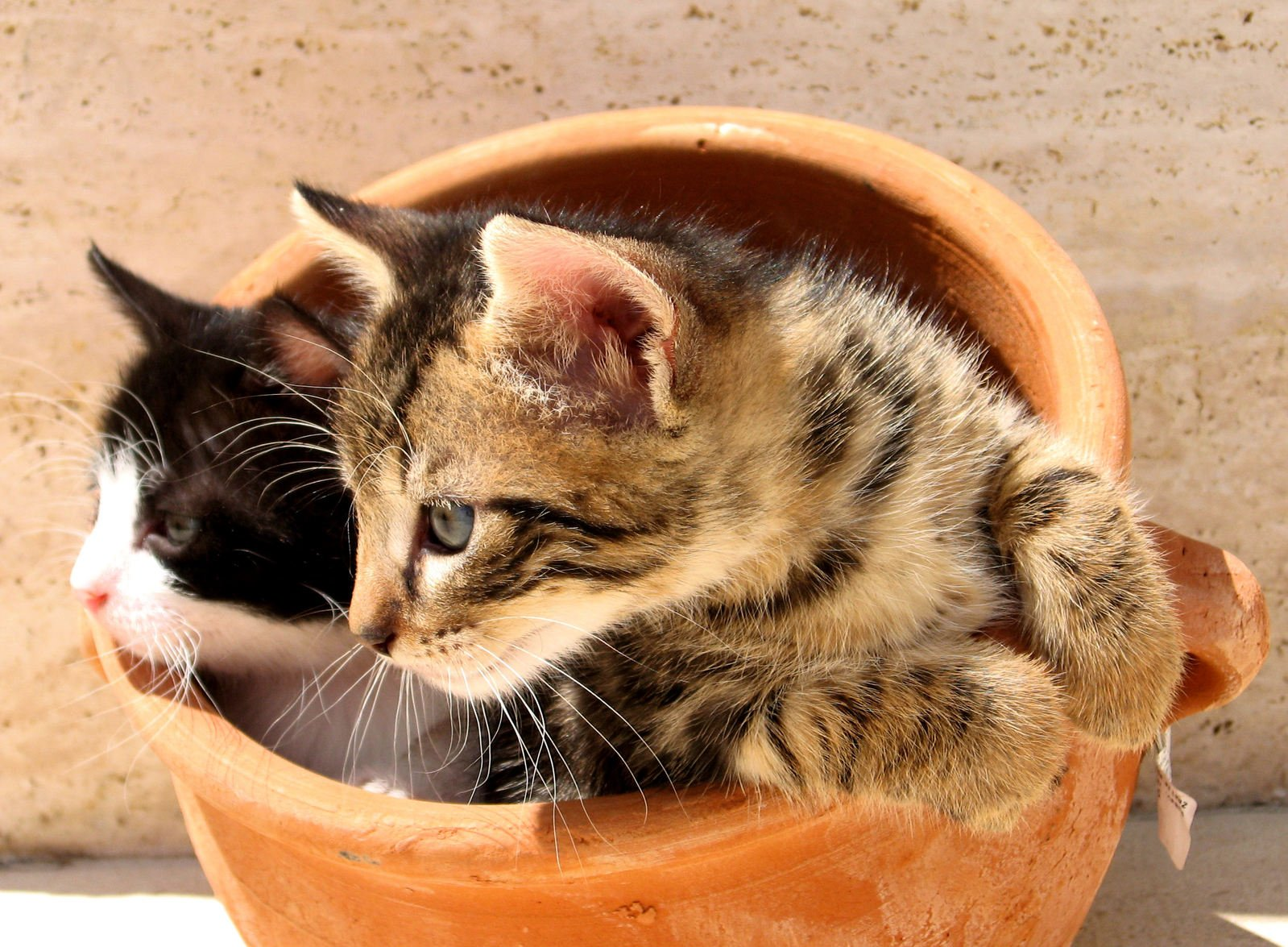 Kittens in a pot 2