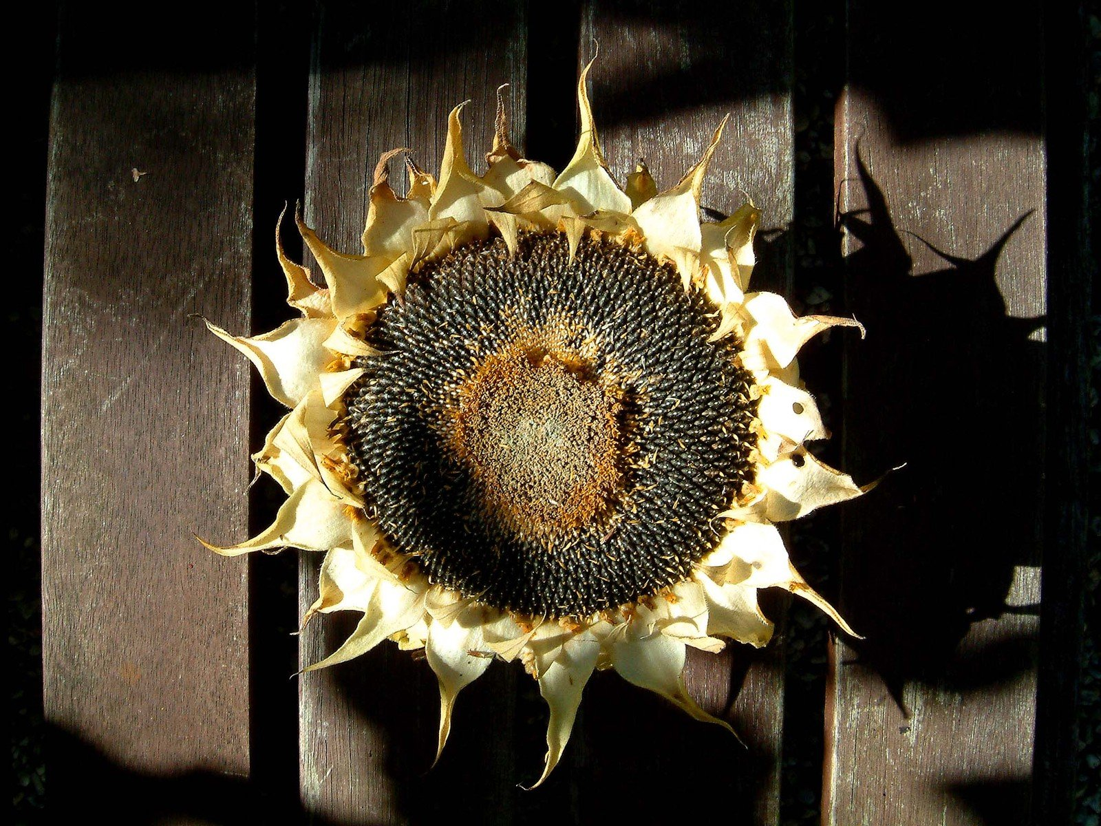 Free Dead Sunflower Stock Photo Freeimages Com