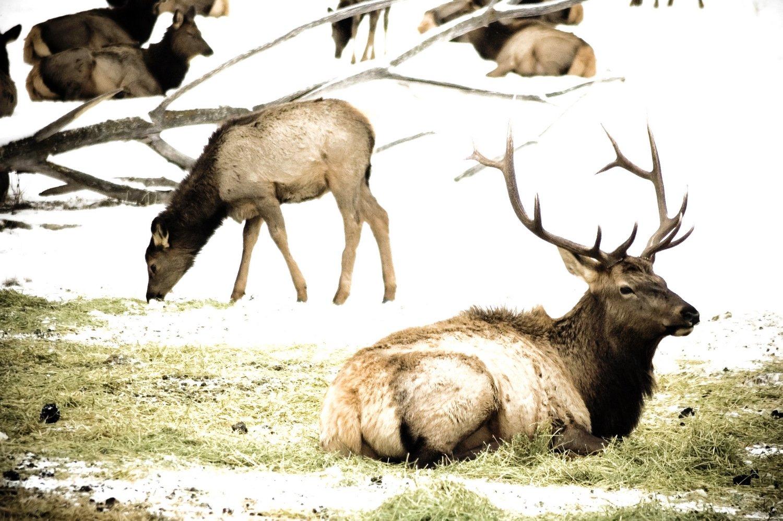 Free Elk 1 Stock Photo - FreeImages.com