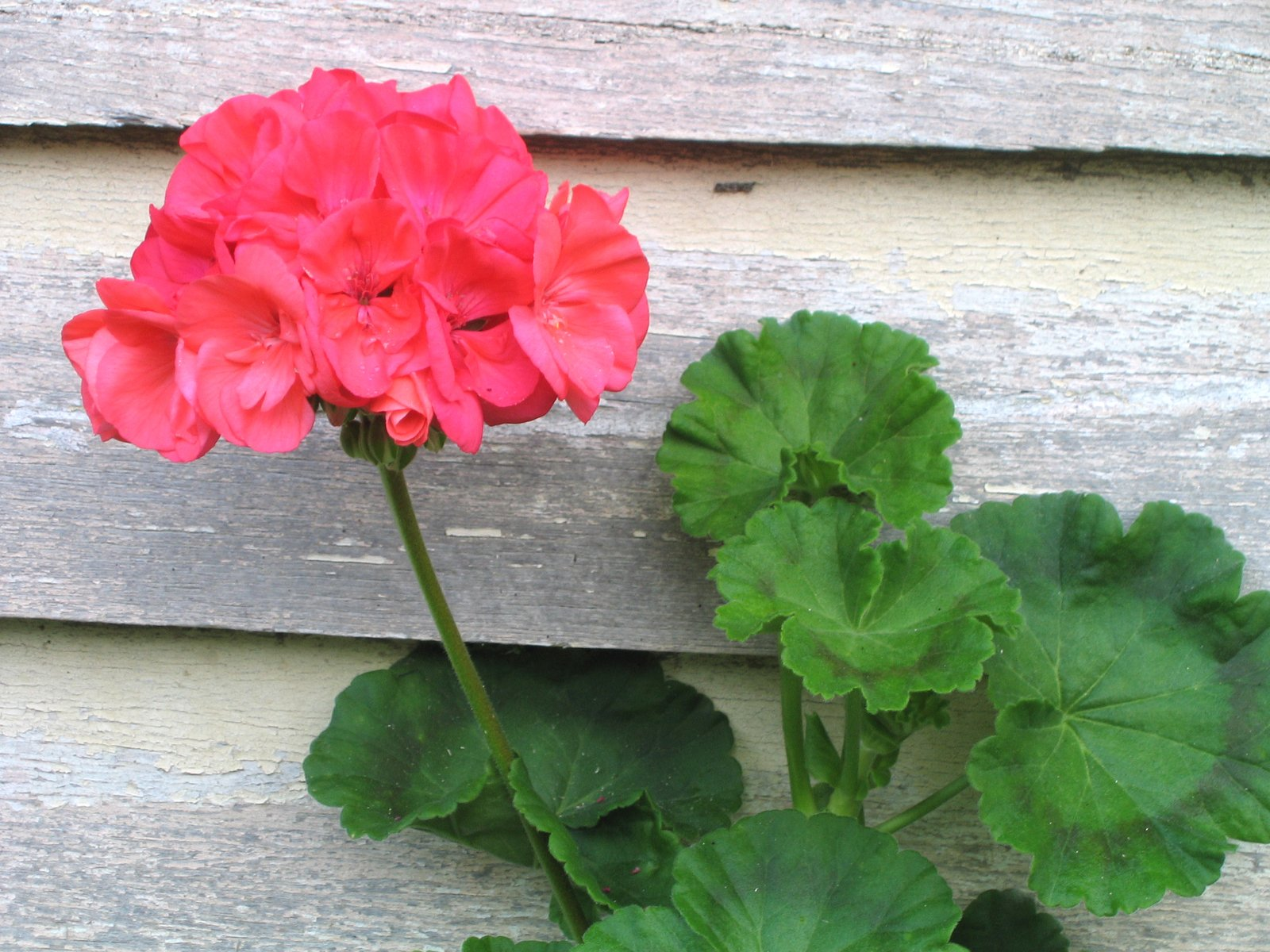 Country Geranium