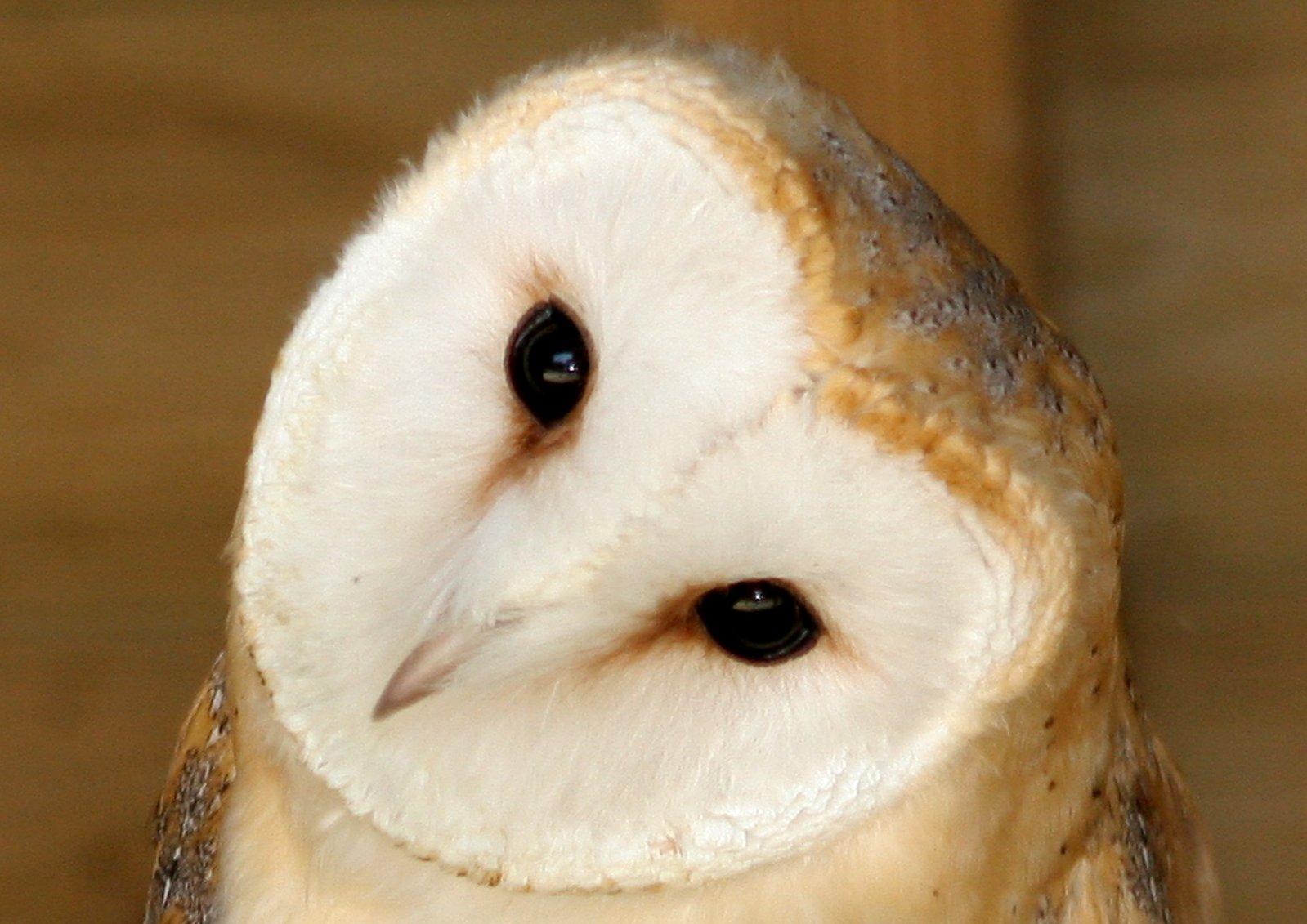 Free Barn Owl Stock Photo Freeimages Com