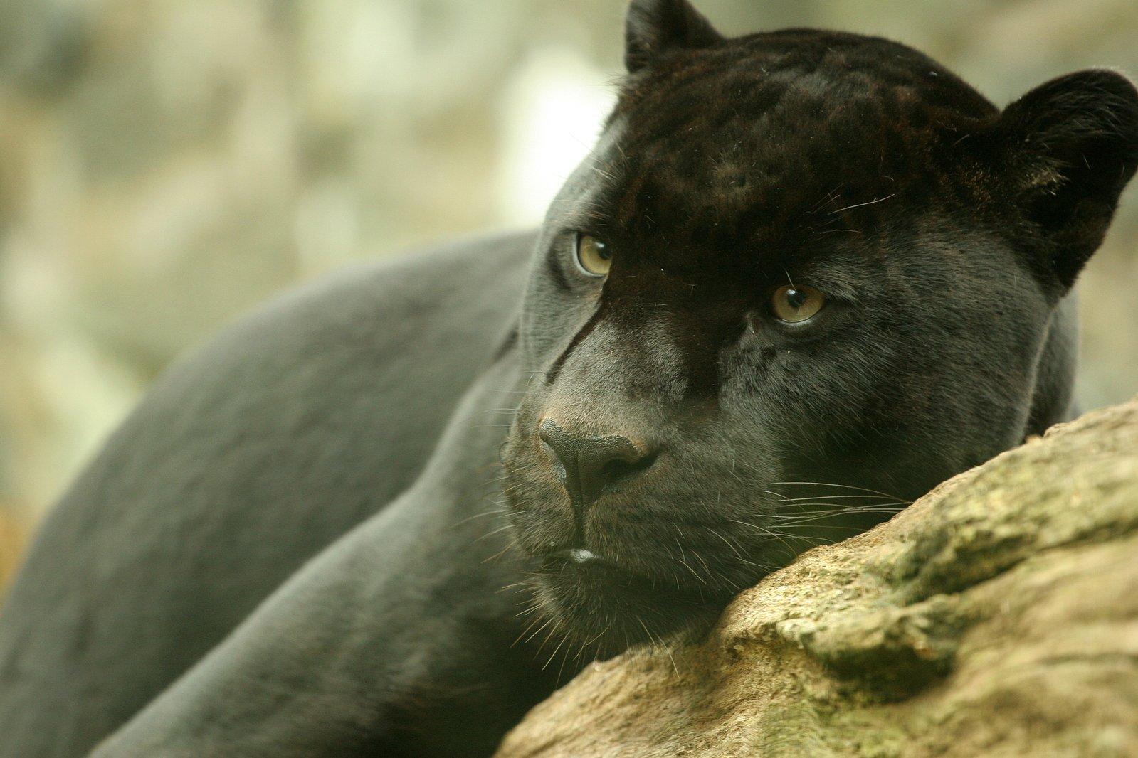 Free Jaguar Negro Stock Photo