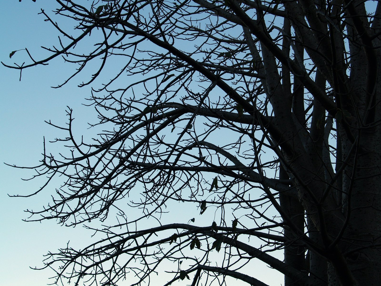 Free Baobab Baum Kontur Stock Photo - FreeImages.com