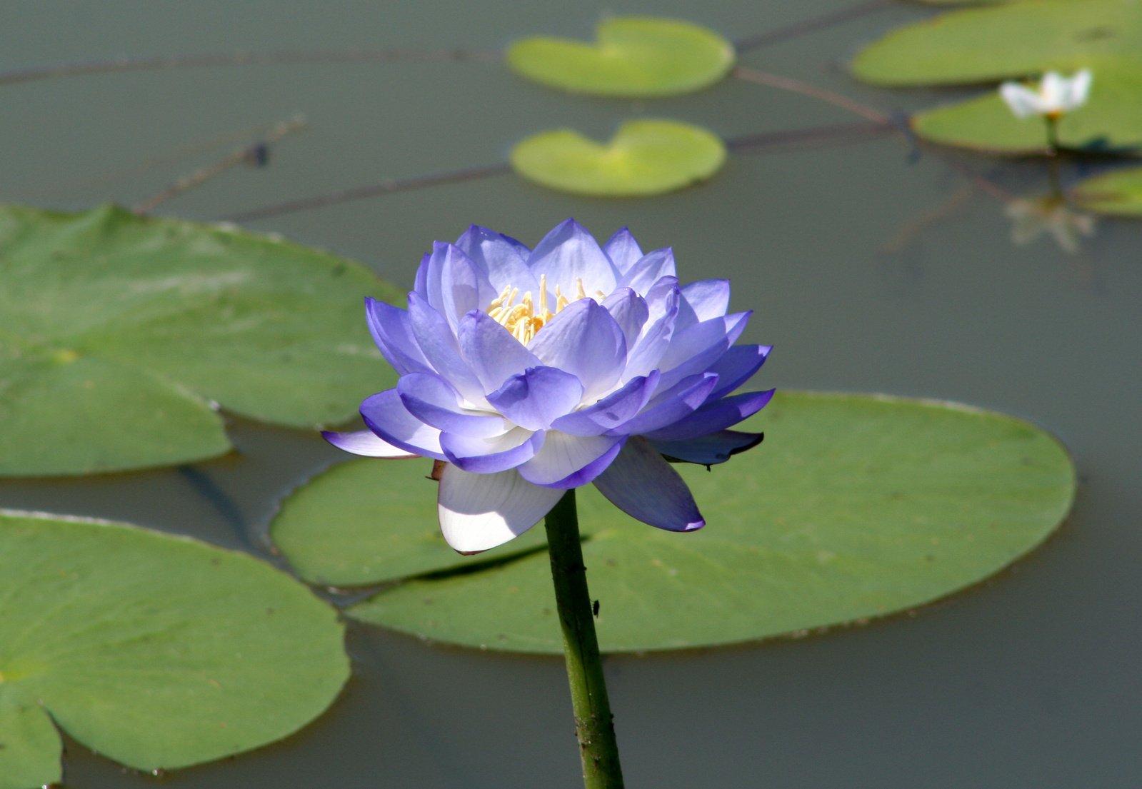 Free Purple Lotus Stock Photo Freeimages Com