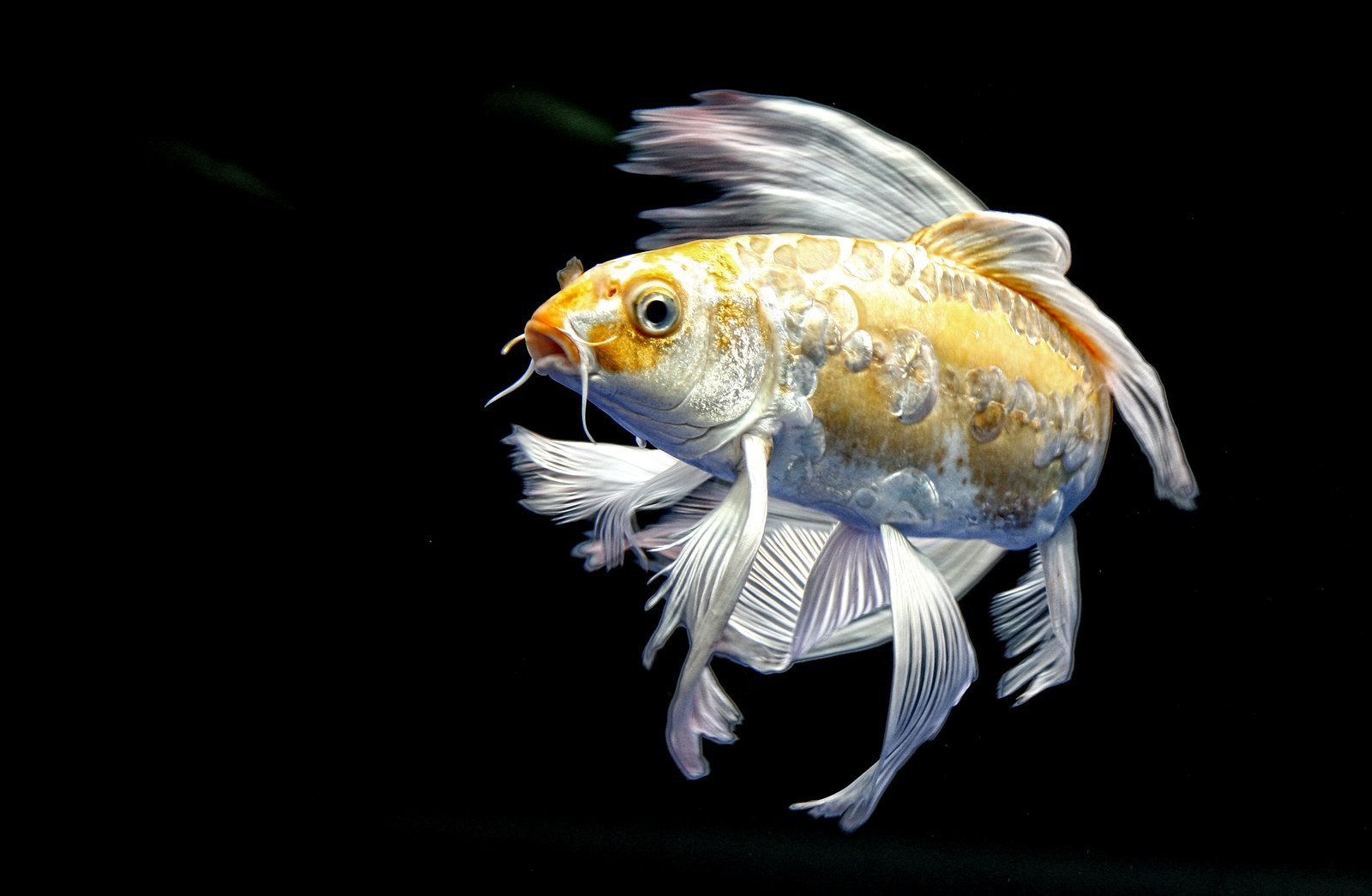 Free koi fish stock photo for Large koi fish