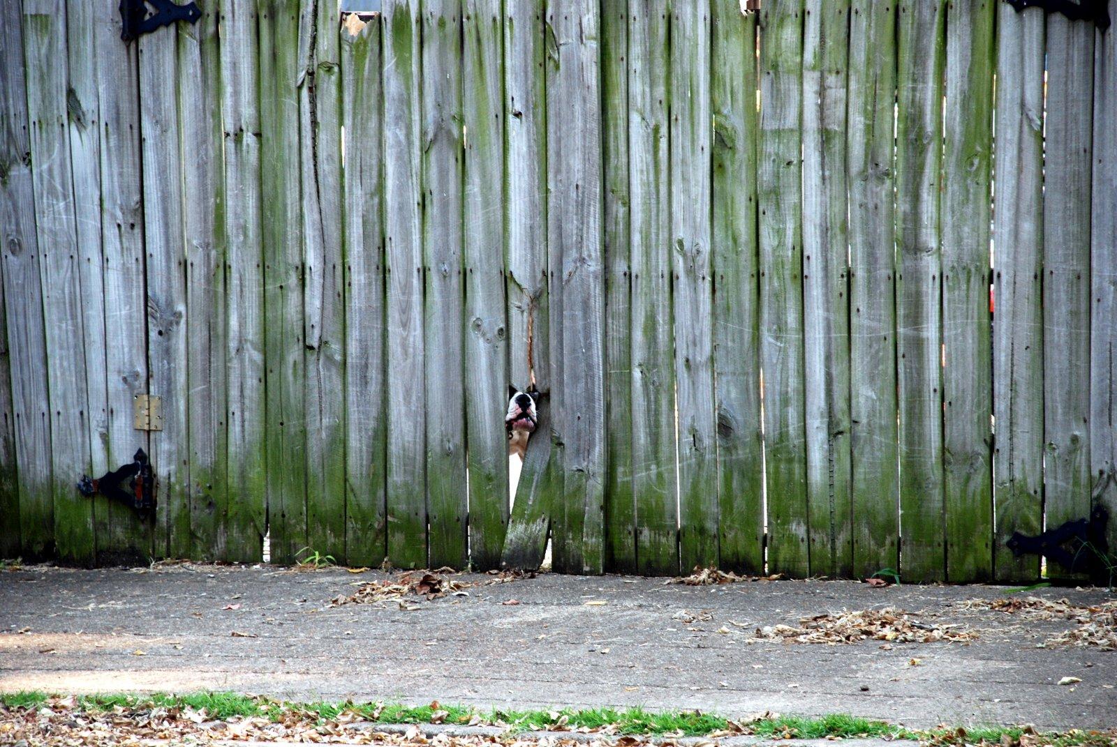 Mean dog behind fence
