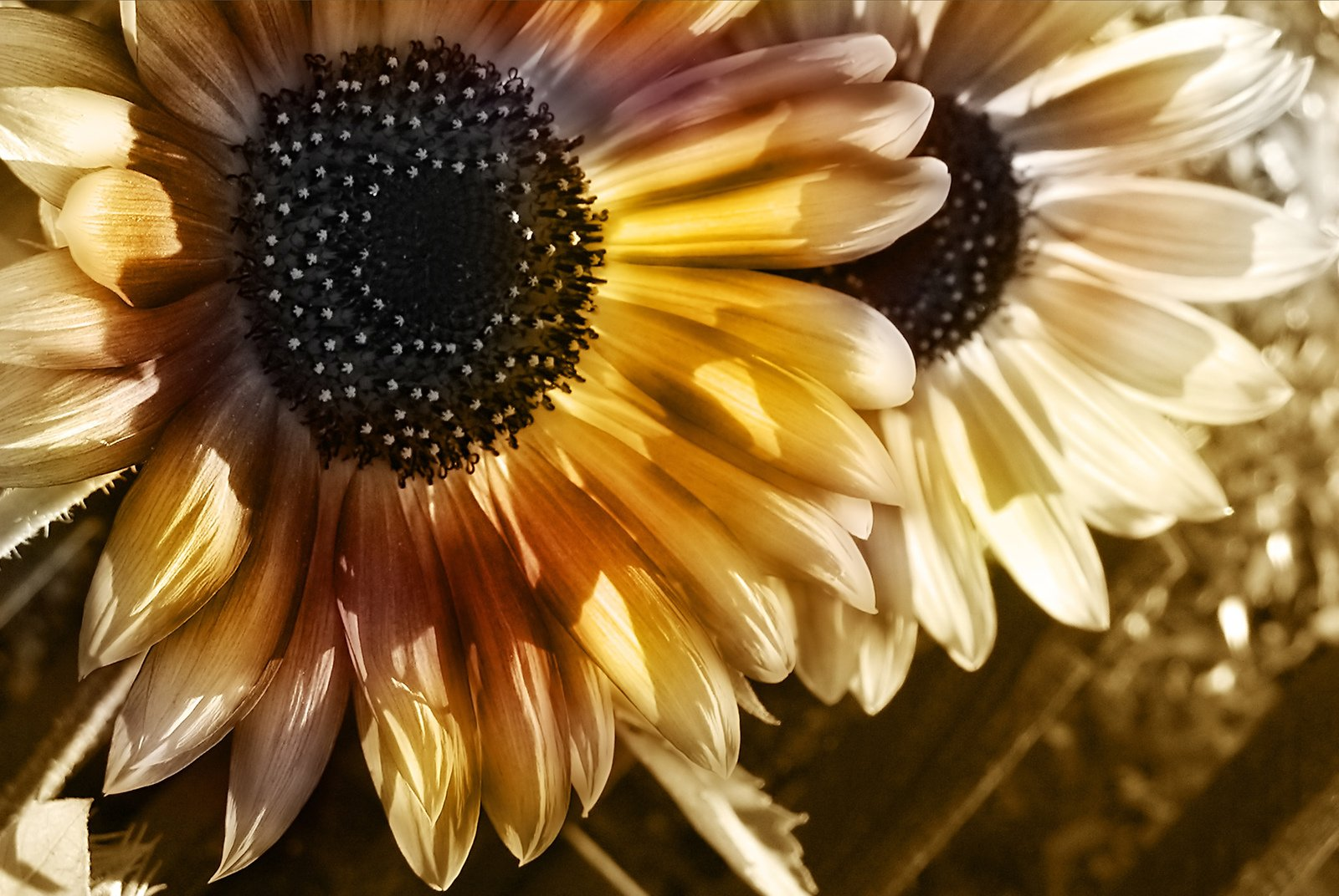 Free Two Sunflowers Stock Photo - FreeImages.com