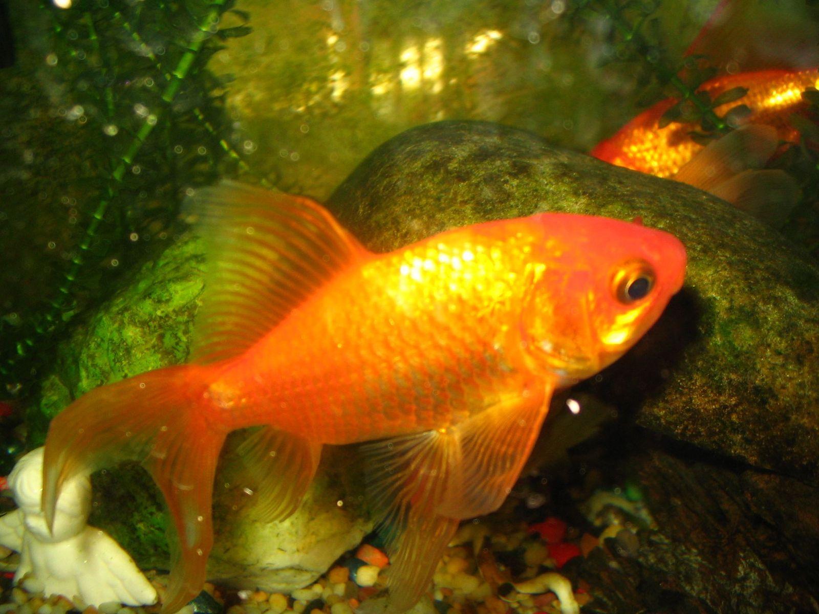 Free poisson rouge 1 stock photo for Nourriture poisson rouge 1 mois