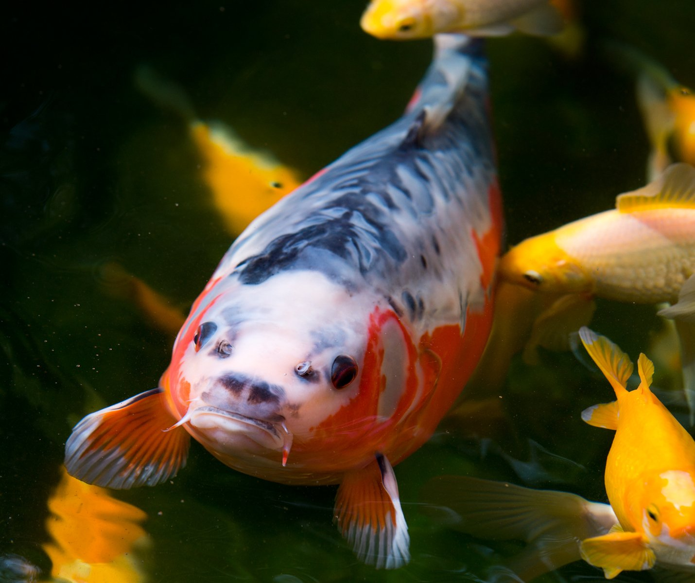 Free koi shusui stock photo for Carpe koi b
