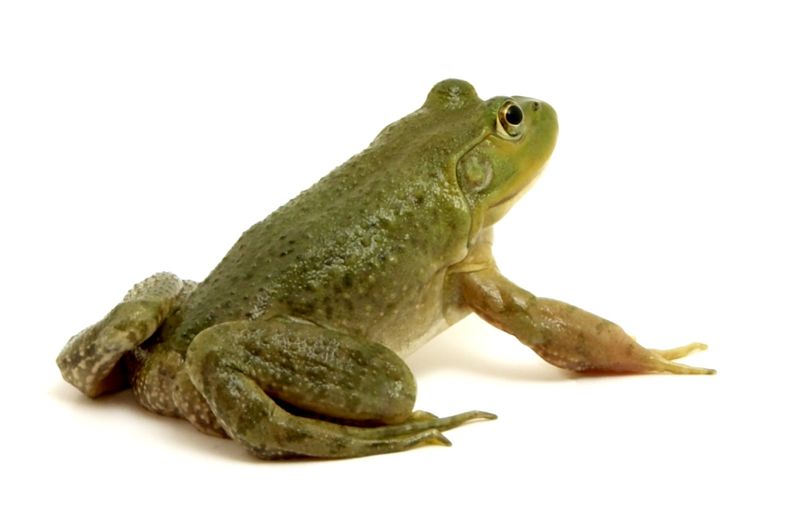 V Frog Kpm Free frog 5 Sto...