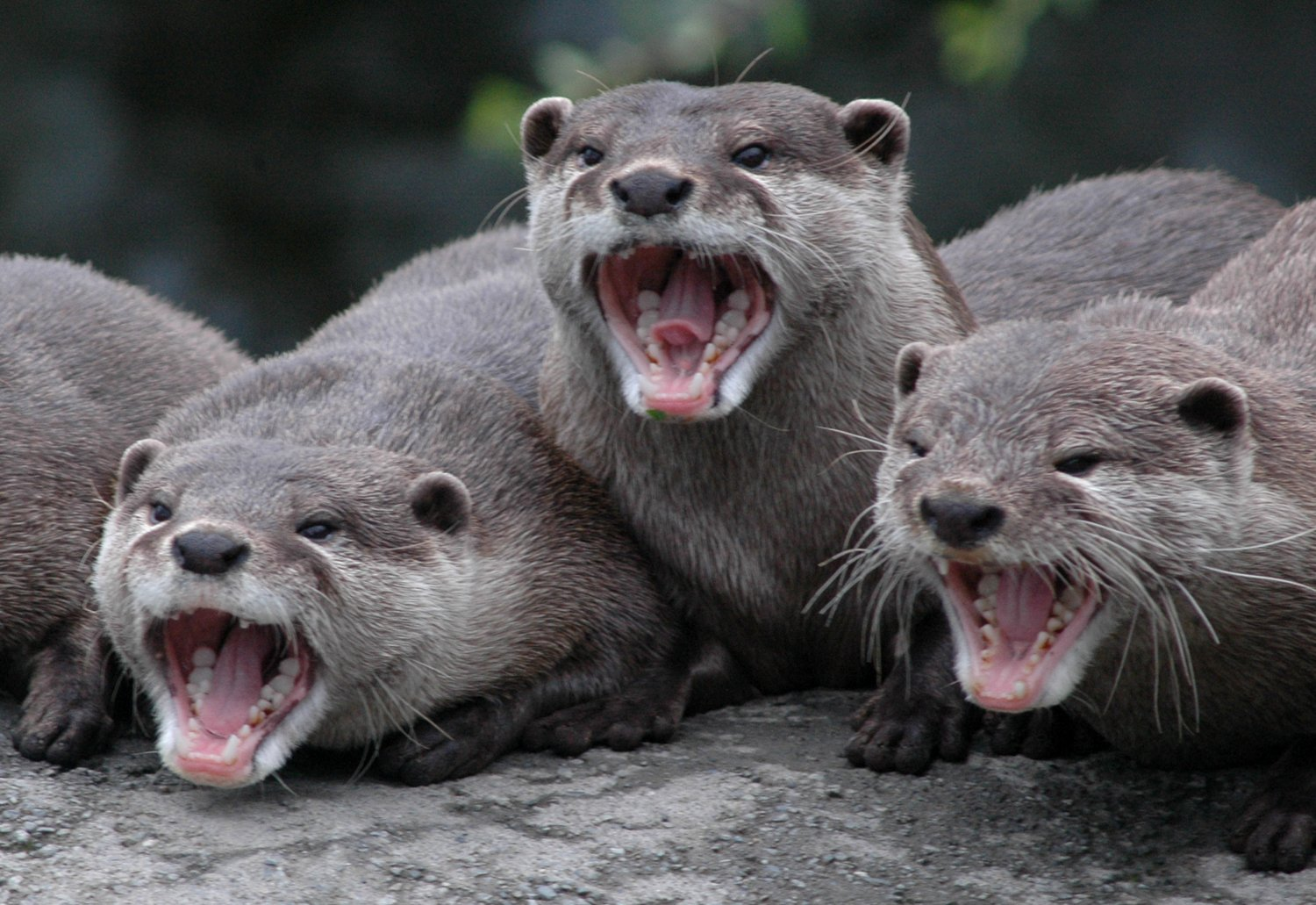 Free Laughing Otters Stock Photo - FreeImages.com - photo#31