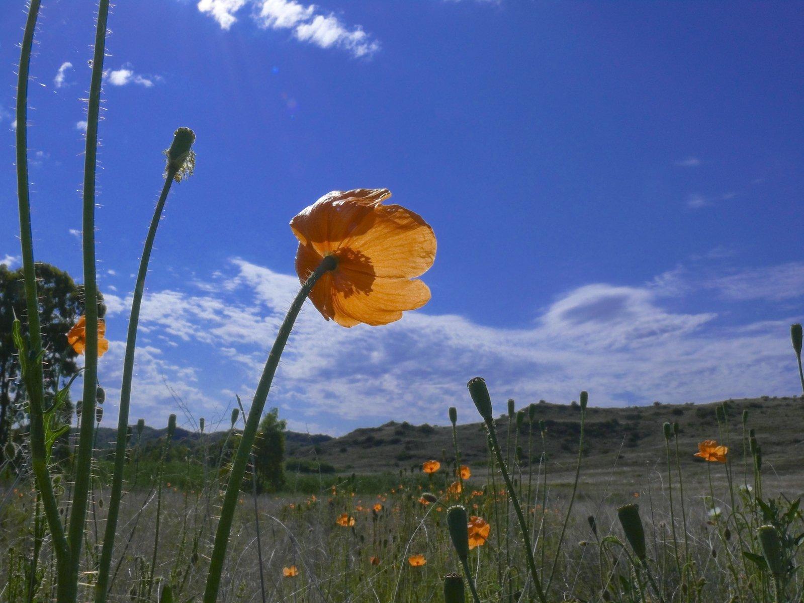 Free Wild Poppies Stock Photo Freeimages