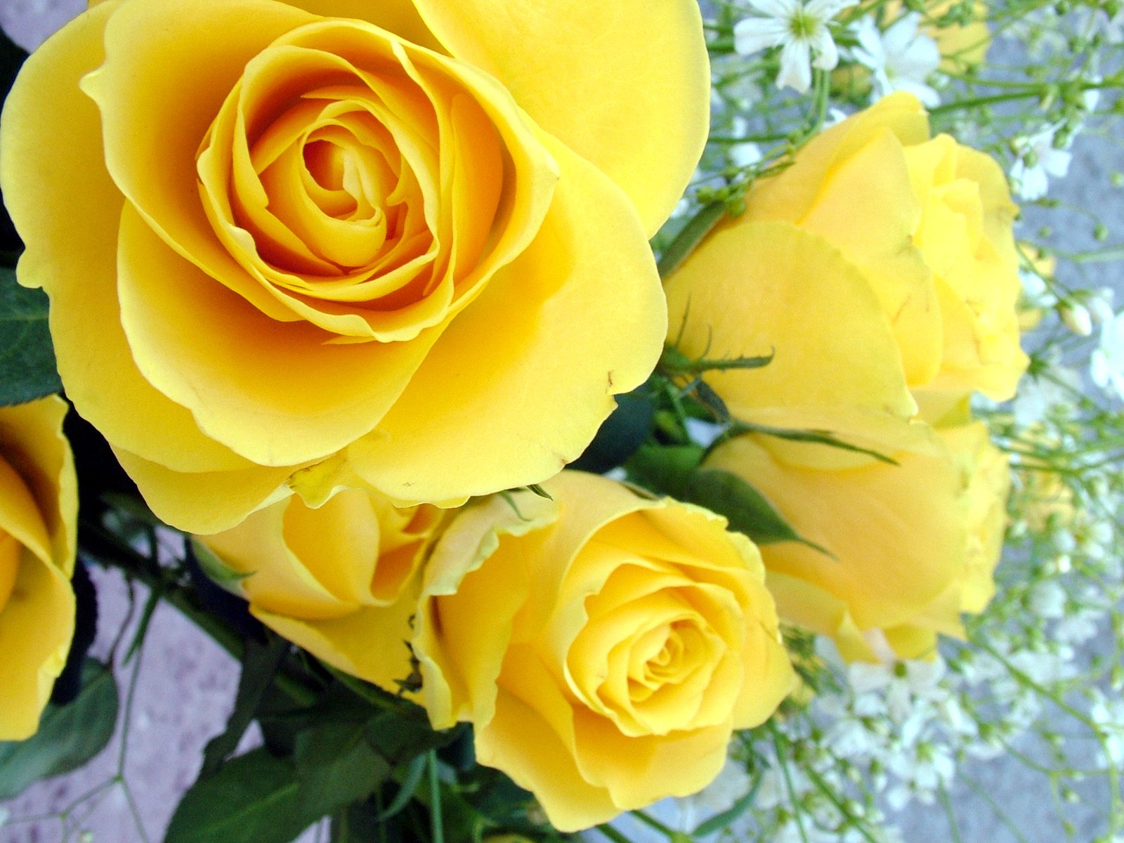 Free Yellow Rose Images Pictures And Royalty Free Stock Photos