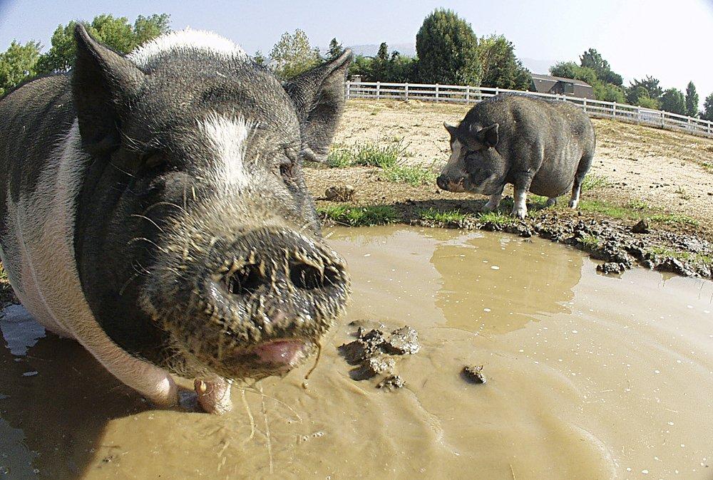 Картинки свиней в луже