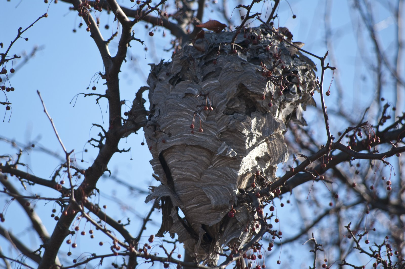 Free Hornets Nest In Berries Stock Photo - FreeImages.com