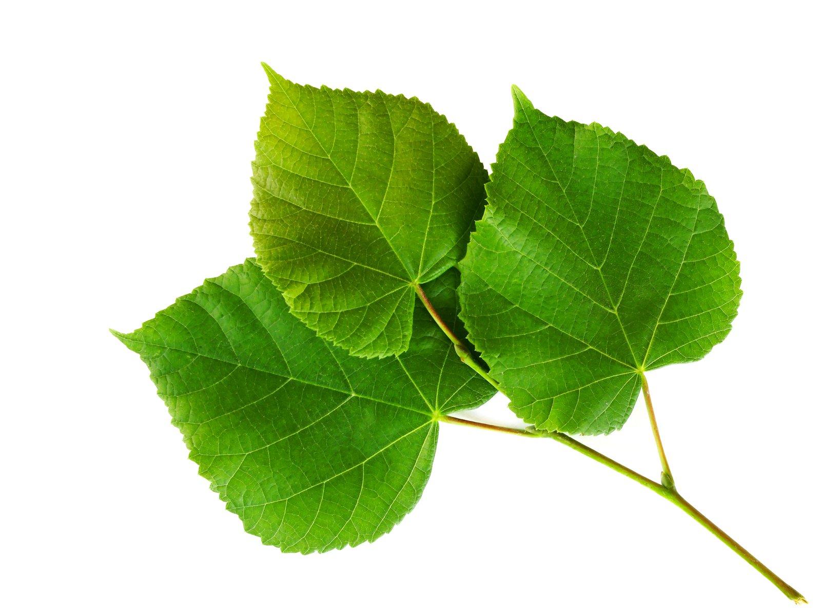 листья липа в картинках помог нам узнать